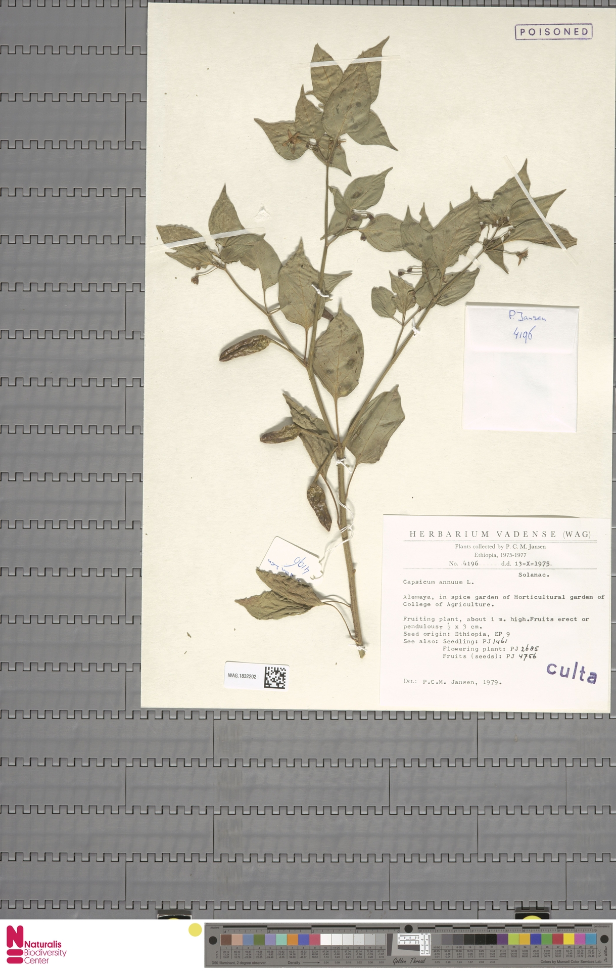 WAG.1832202 | Capsicum annuum L.