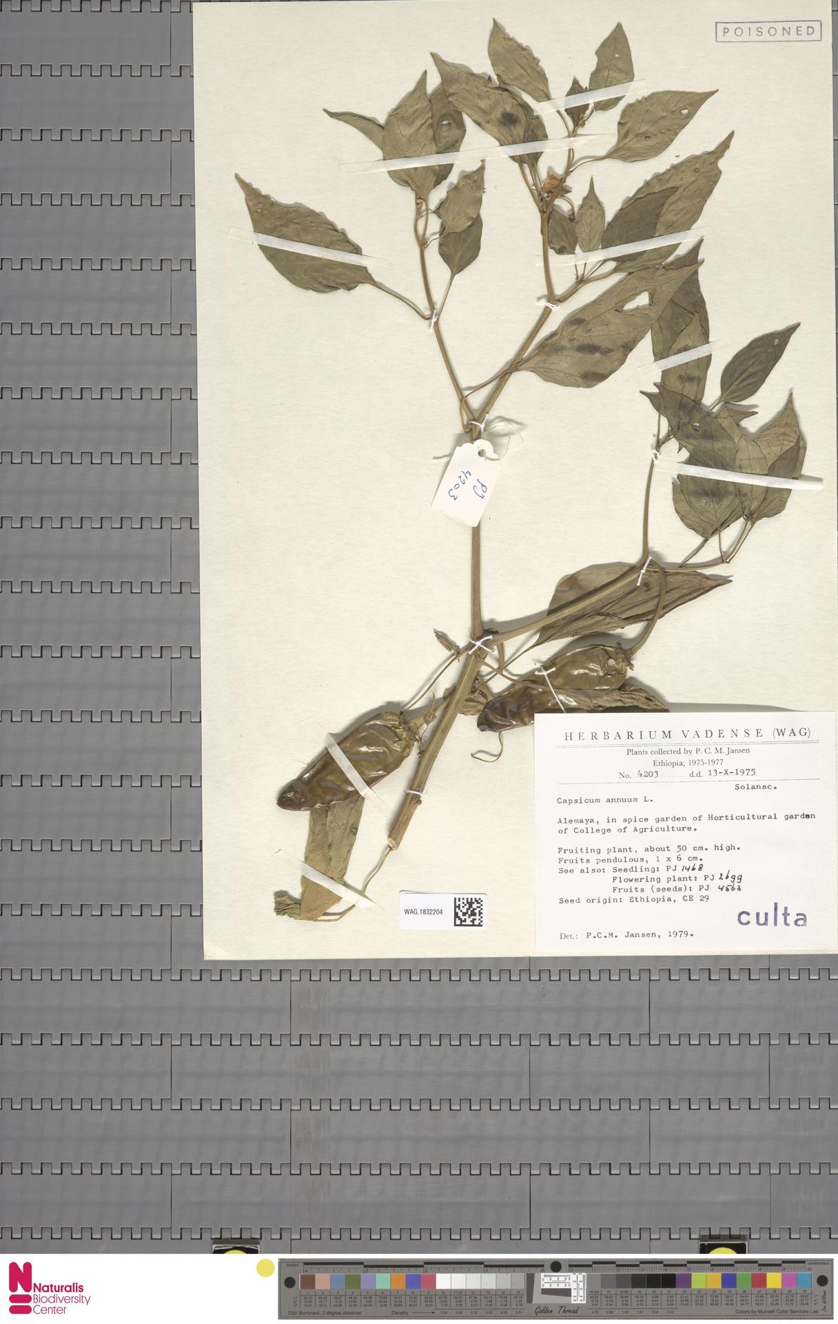 WAG.1832204 | Capsicum annuum L.