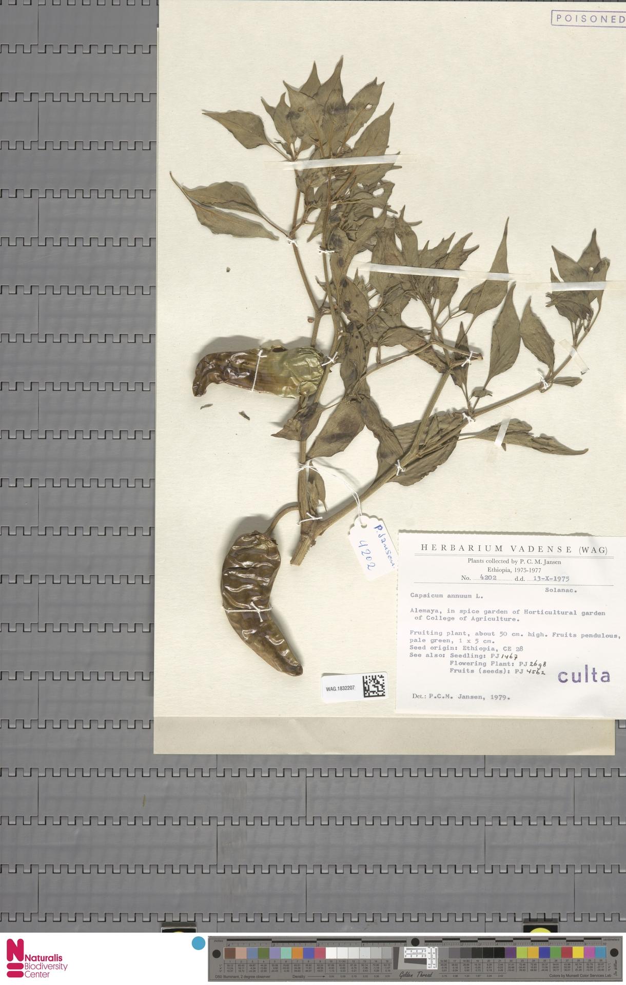 WAG.1832207 | Capsicum annuum L.