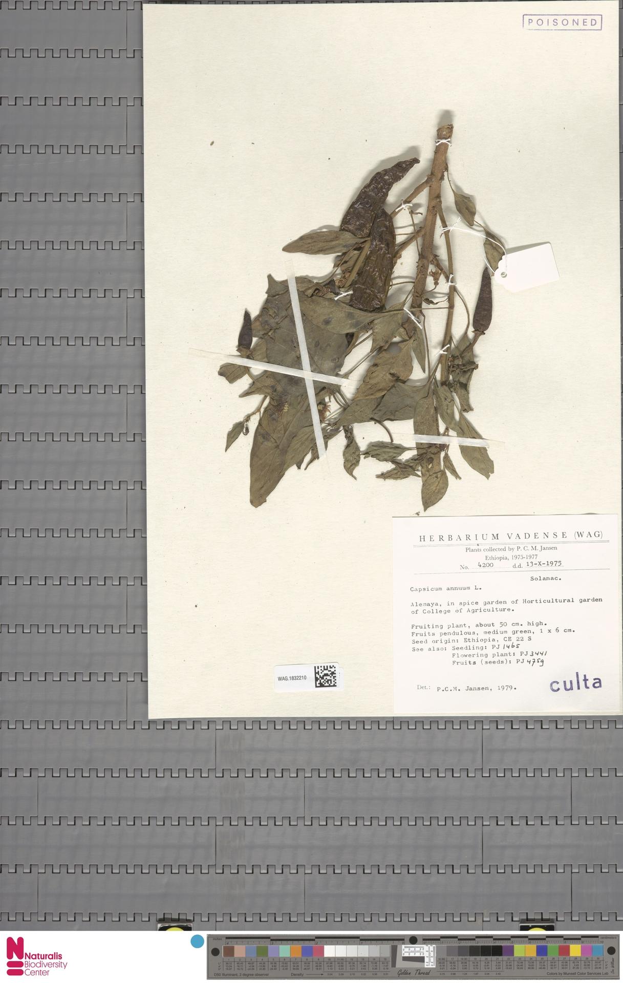 WAG.1832210 | Capsicum annuum L.