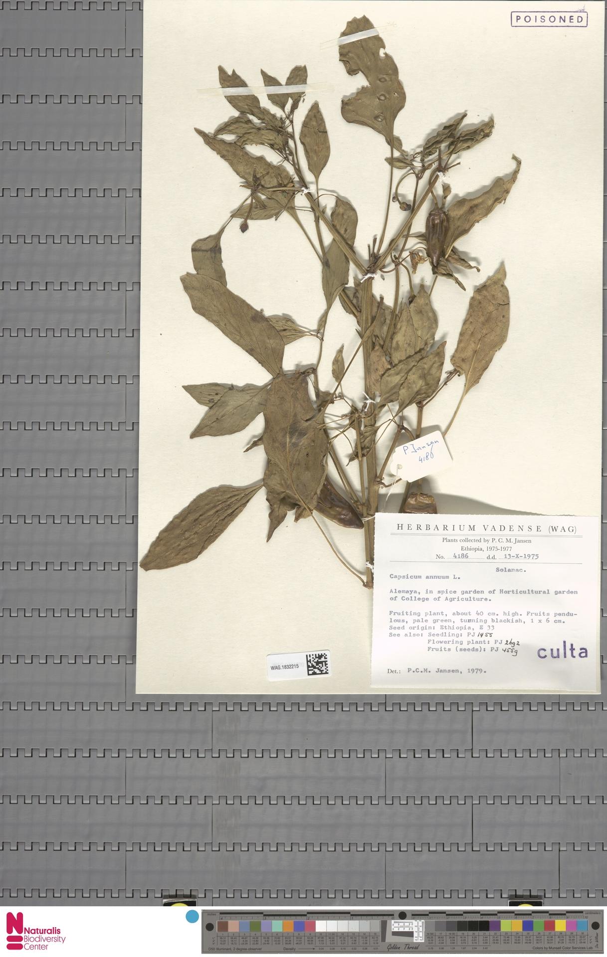 WAG.1832215 | Capsicum annuum L.