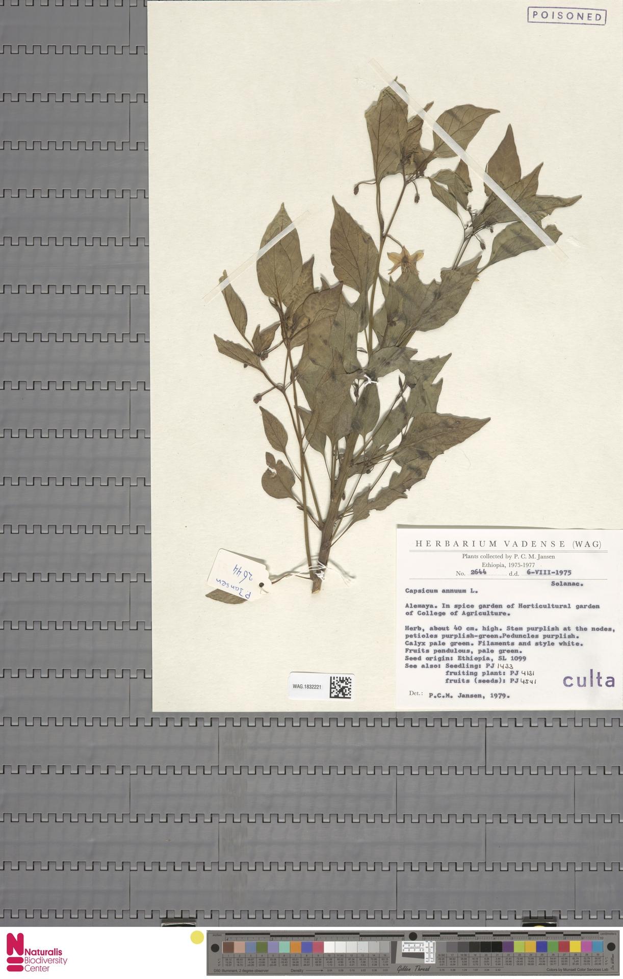 WAG.1832221 | Capsicum annuum L.