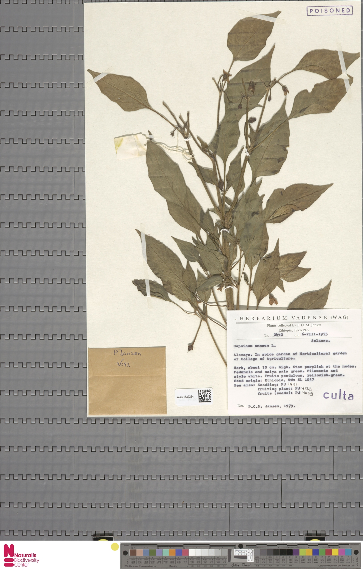 WAG.1832224 | Capsicum annuum L.