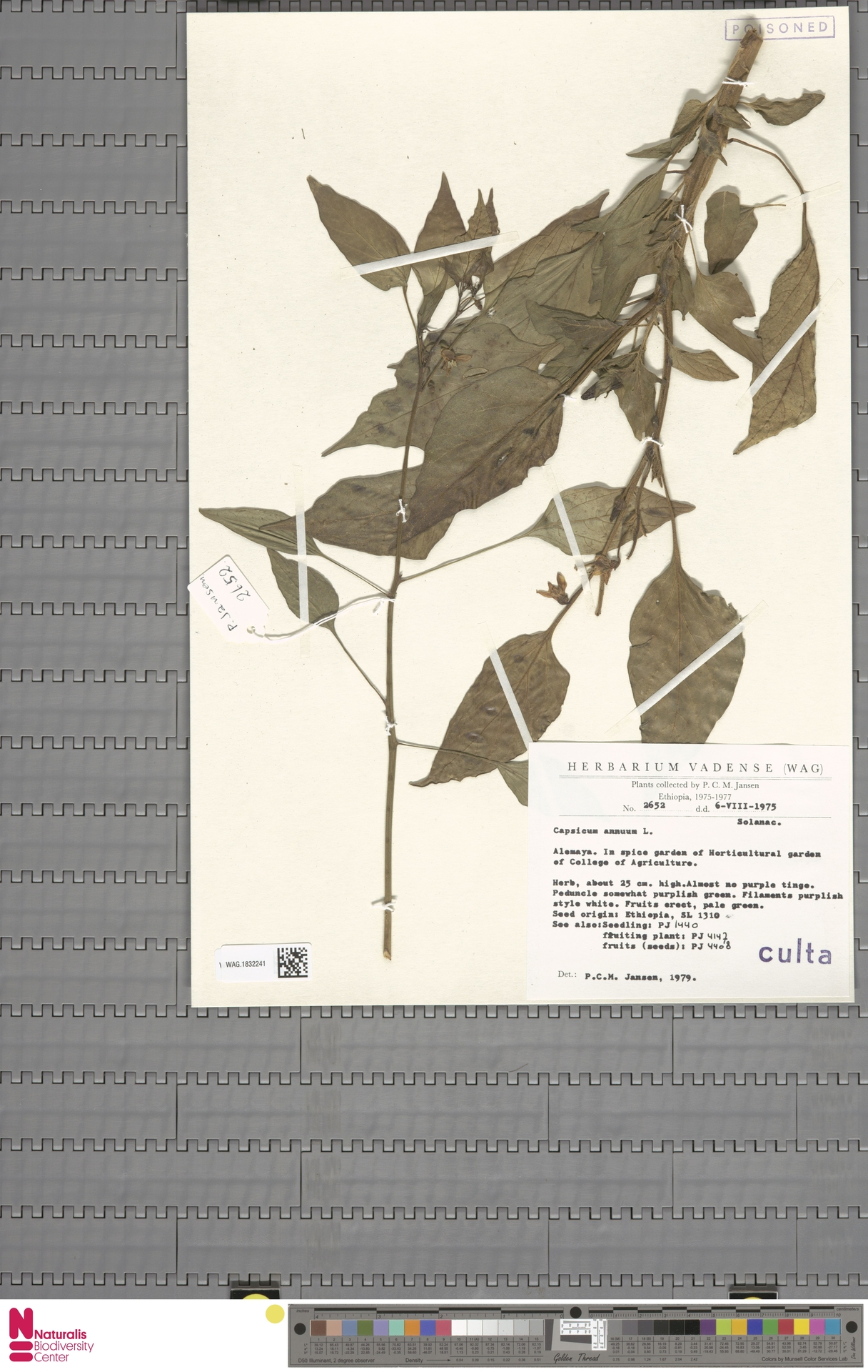 WAG.1832241 | Capsicum annuum L.