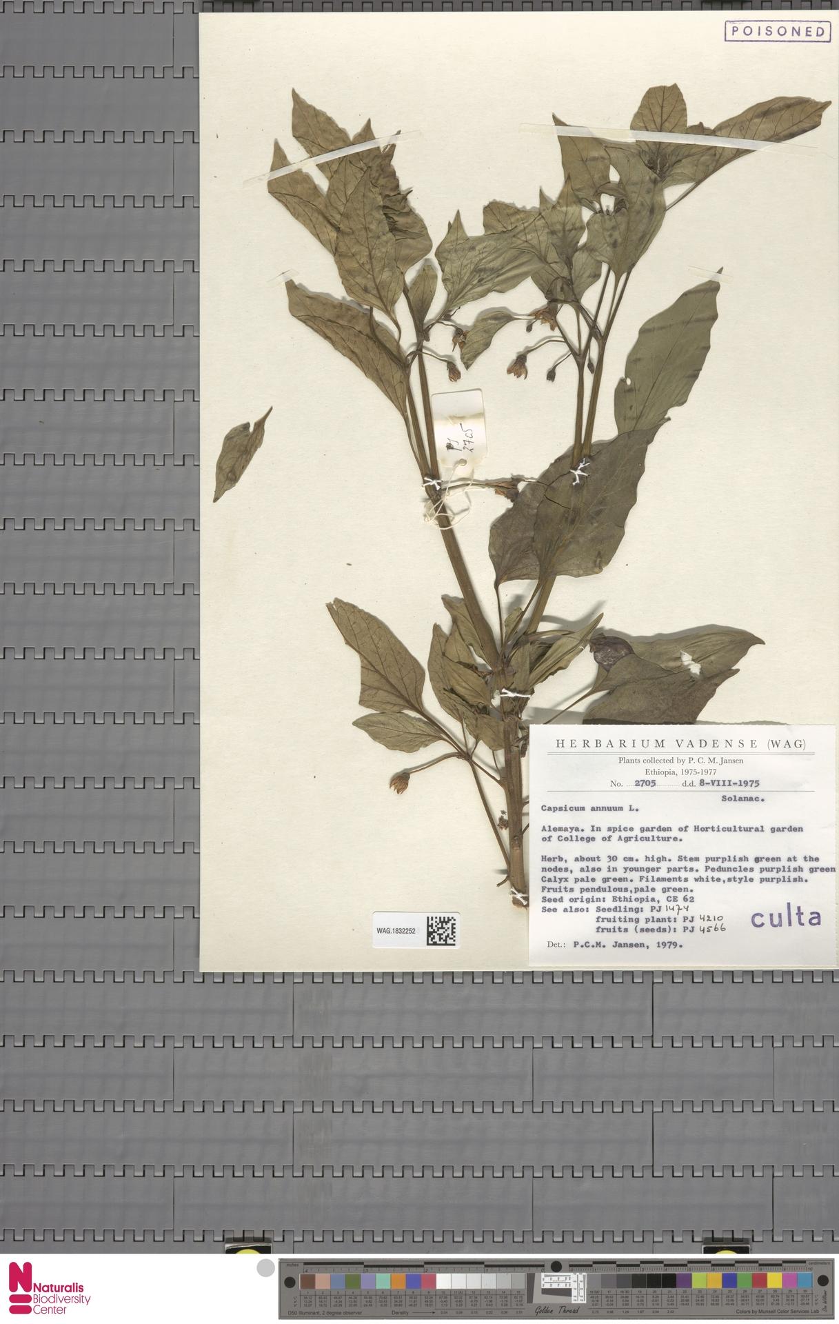 WAG.1832252 | Capsicum annuum L.