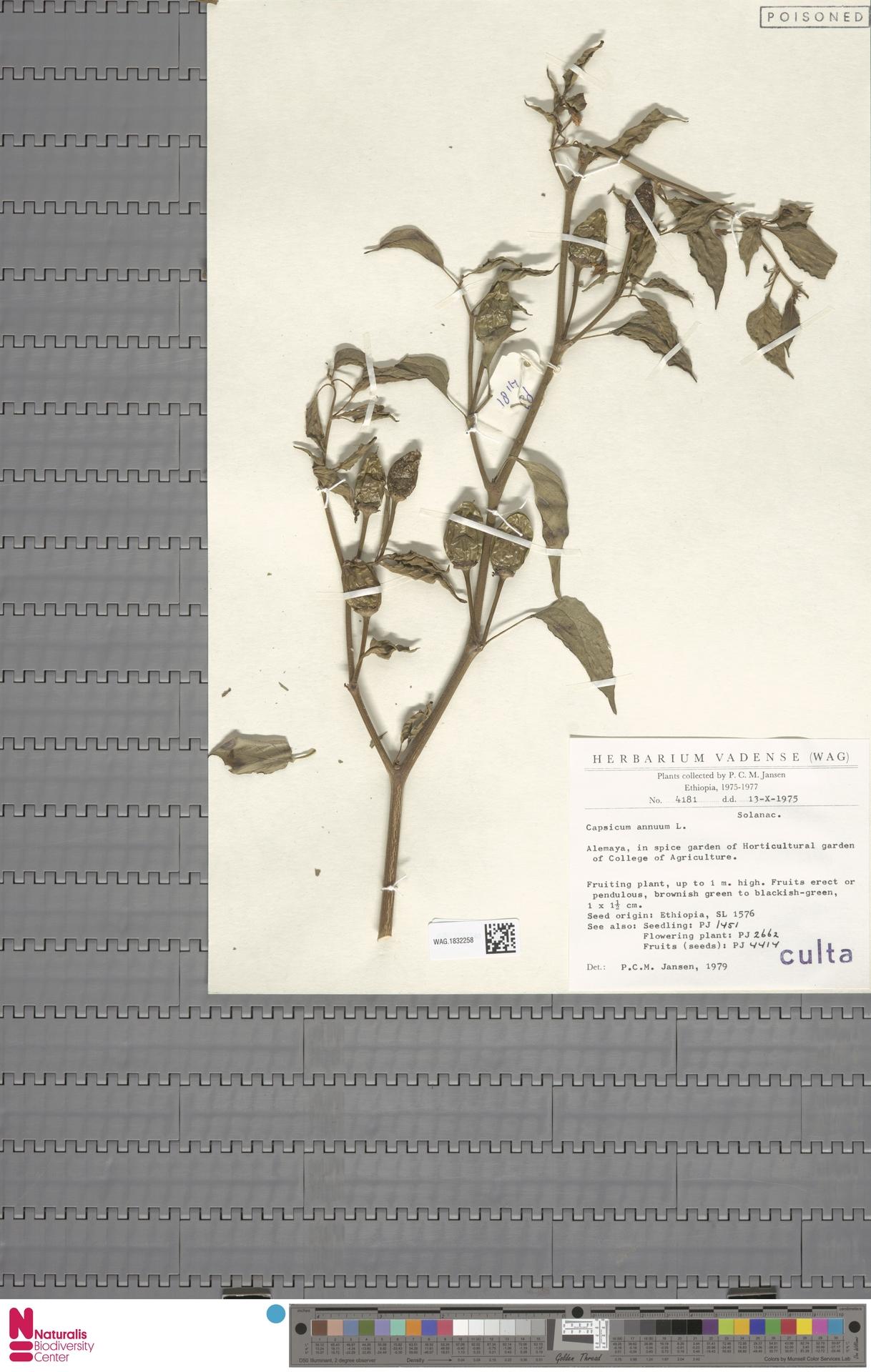 WAG.1832258 | Capsicum annuum L.