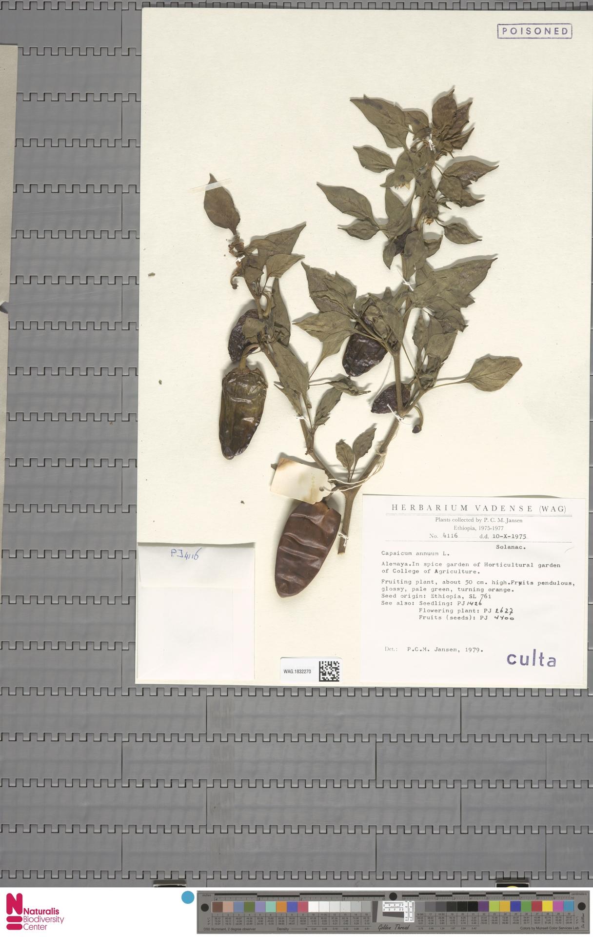 WAG.1832270 | Capsicum annuum L.