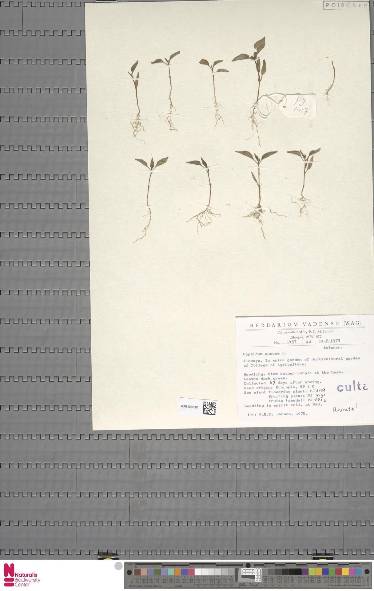 WAG.1832280 | Capsicum annuum L.