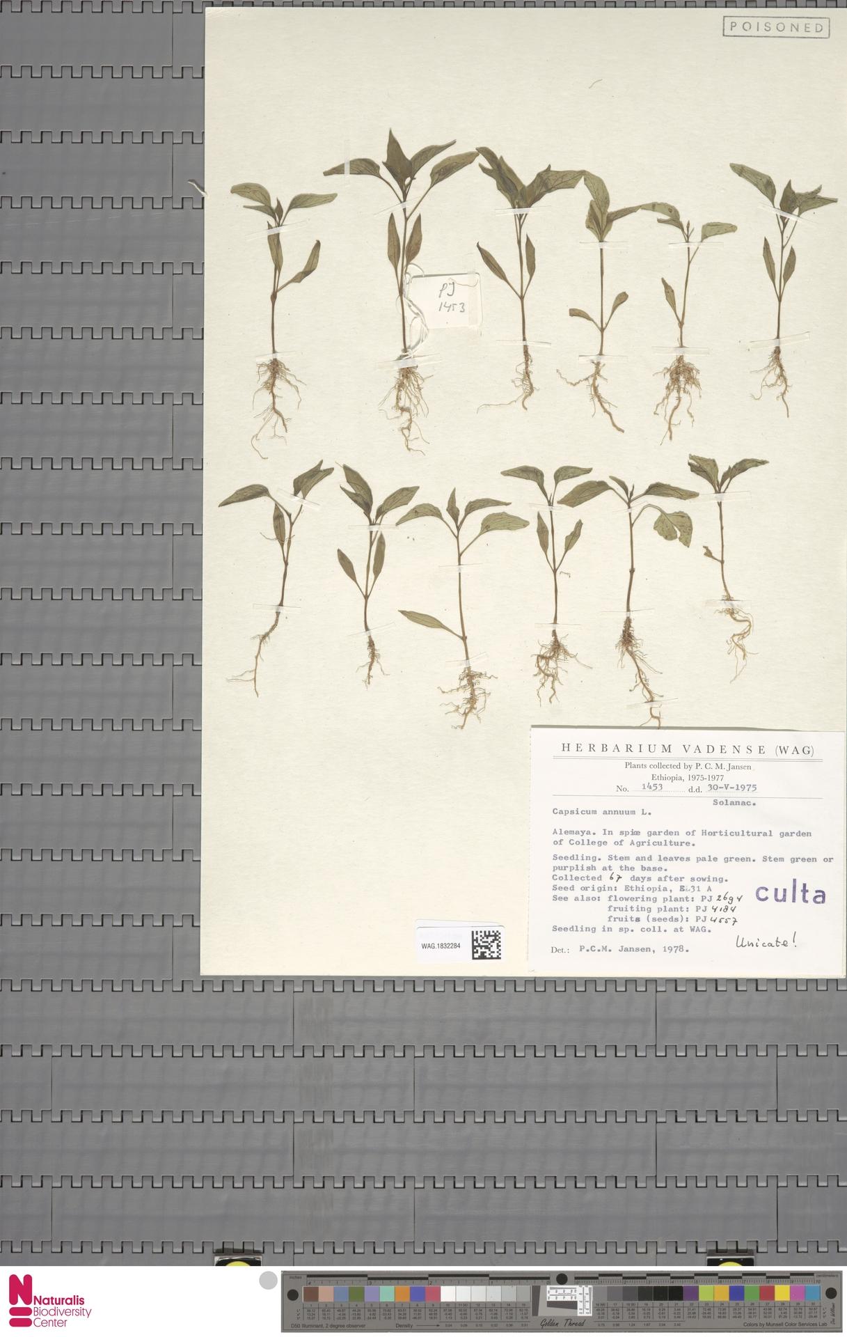 WAG.1832284   Capsicum annuum L.