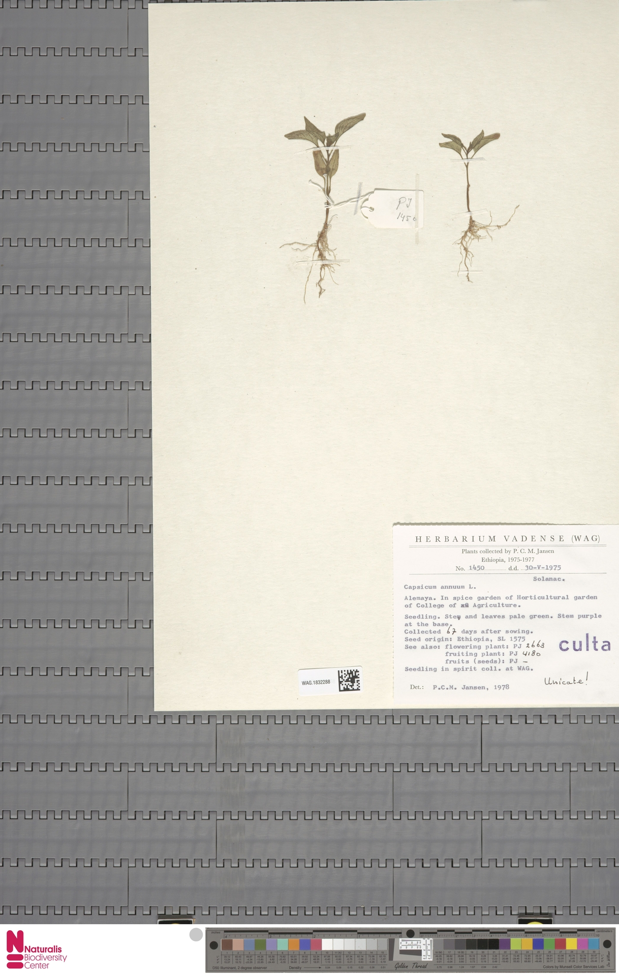 WAG.1832288 | Capsicum annuum L.