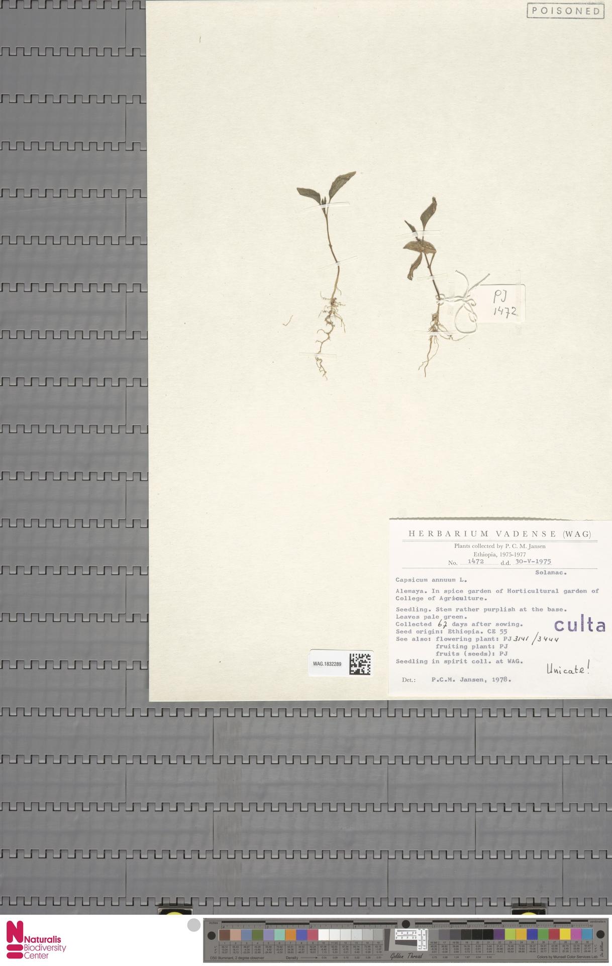 WAG.1832289   Capsicum annuum L.