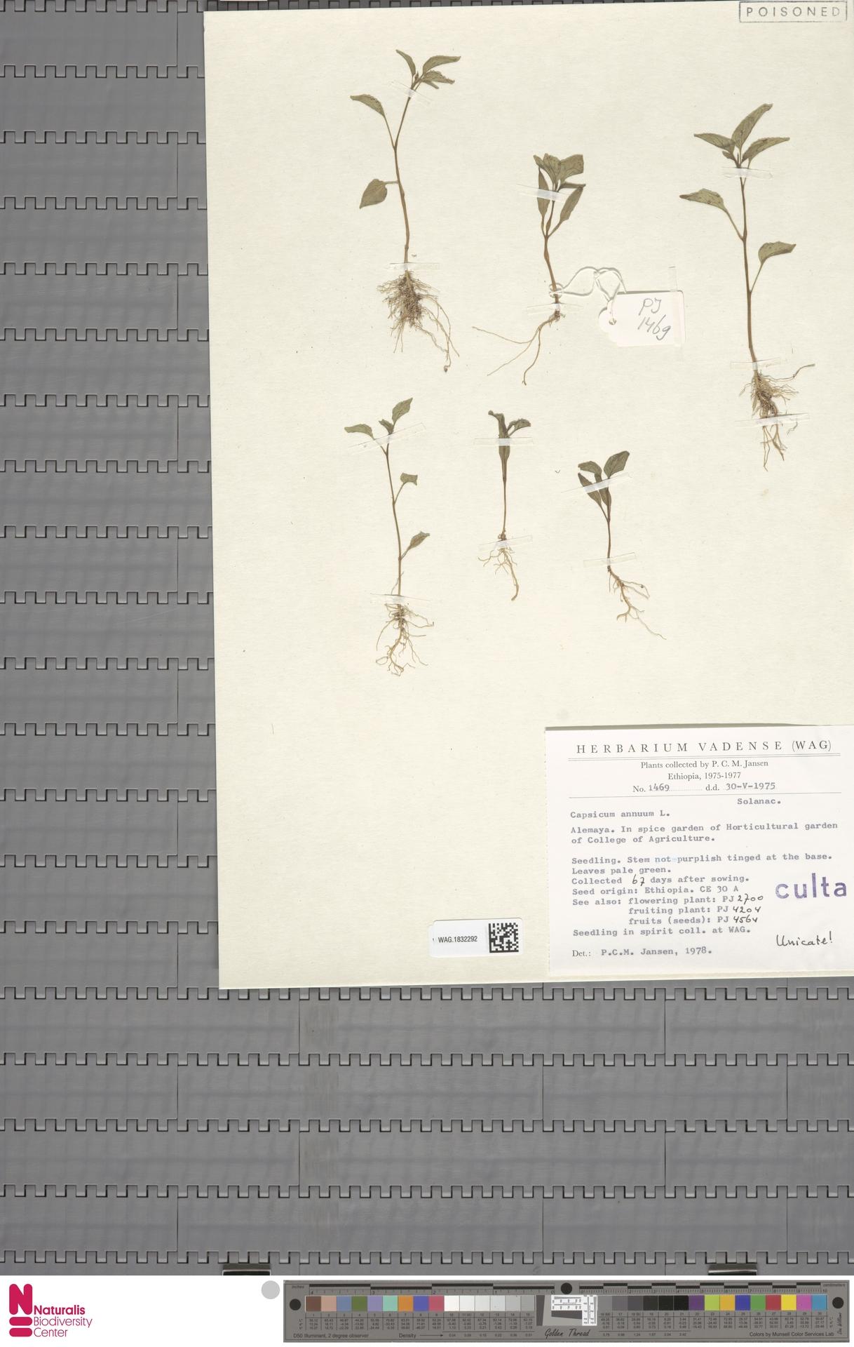 WAG.1832292 | Capsicum annuum L.