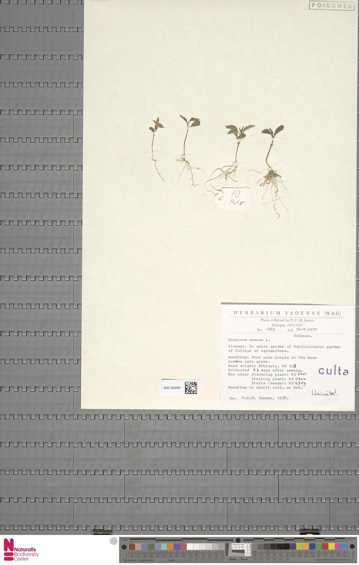 WAG.1832296 | Capsicum annuum L.