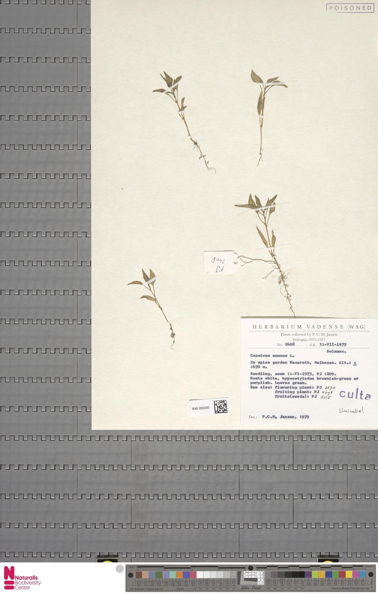 WAG.1832300 | Capsicum annuum L.