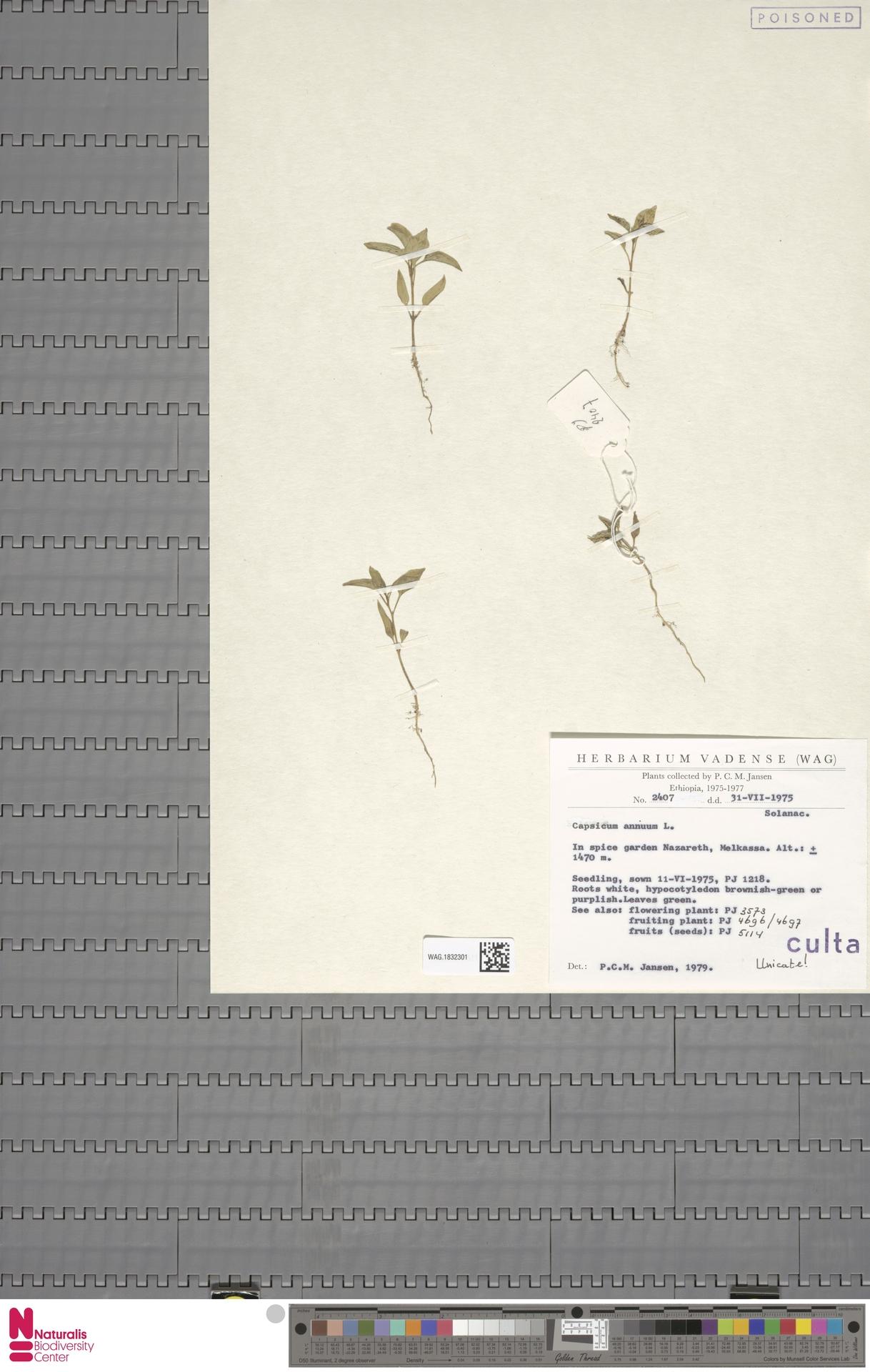 WAG.1832301   Capsicum annuum L.