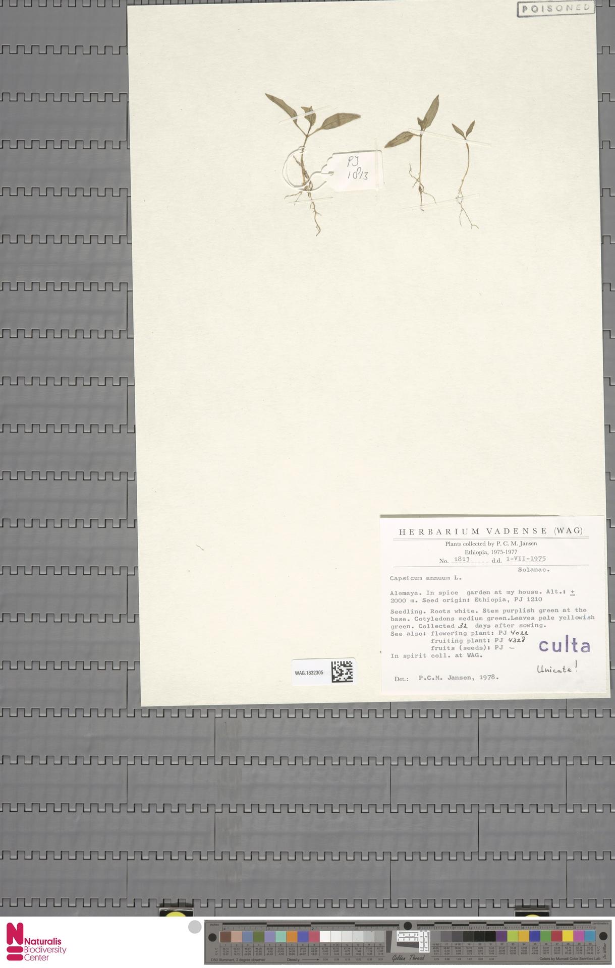 WAG.1832305 | Capsicum annuum L.