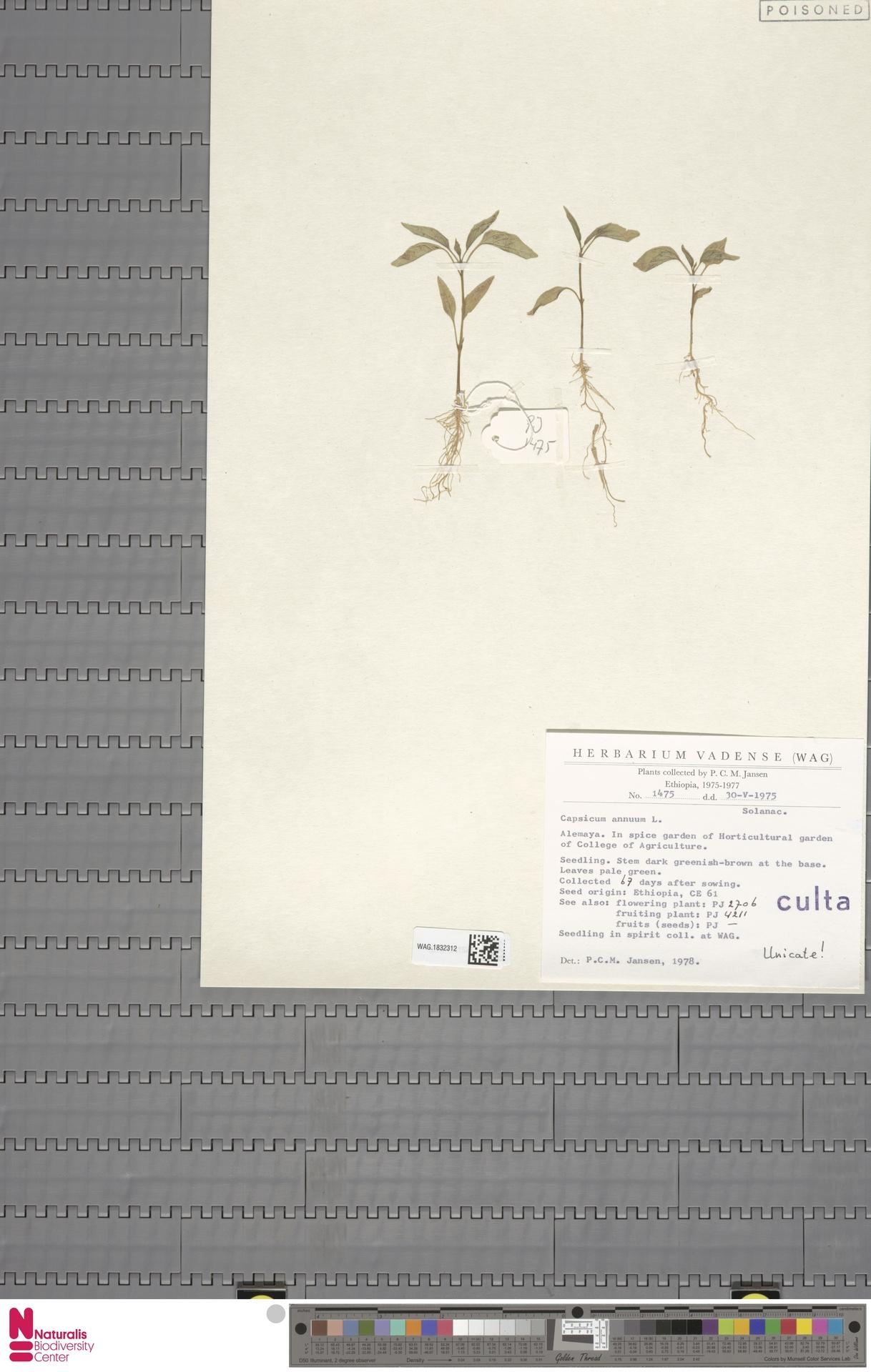 WAG.1832312 | Capsicum annuum L.