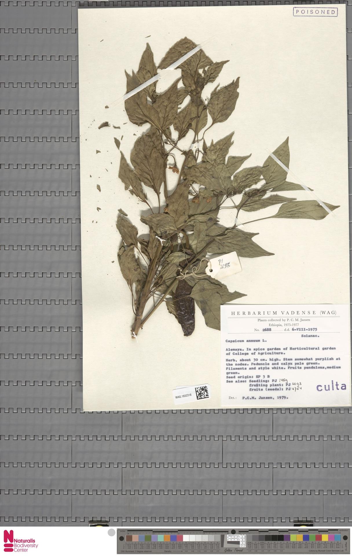 WAG.1832318 | Capsicum annuum L.