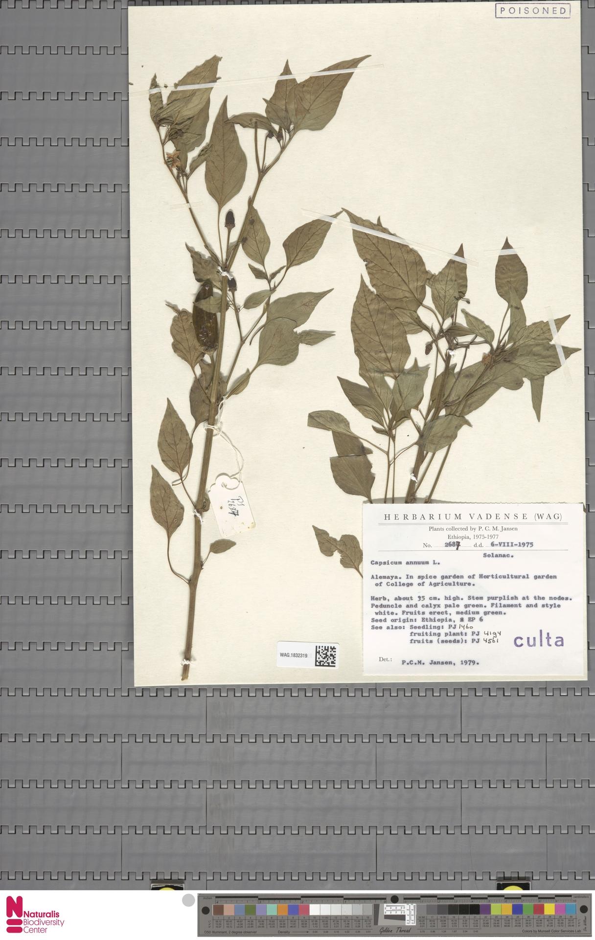 WAG.1832319 | Capsicum annuum L.
