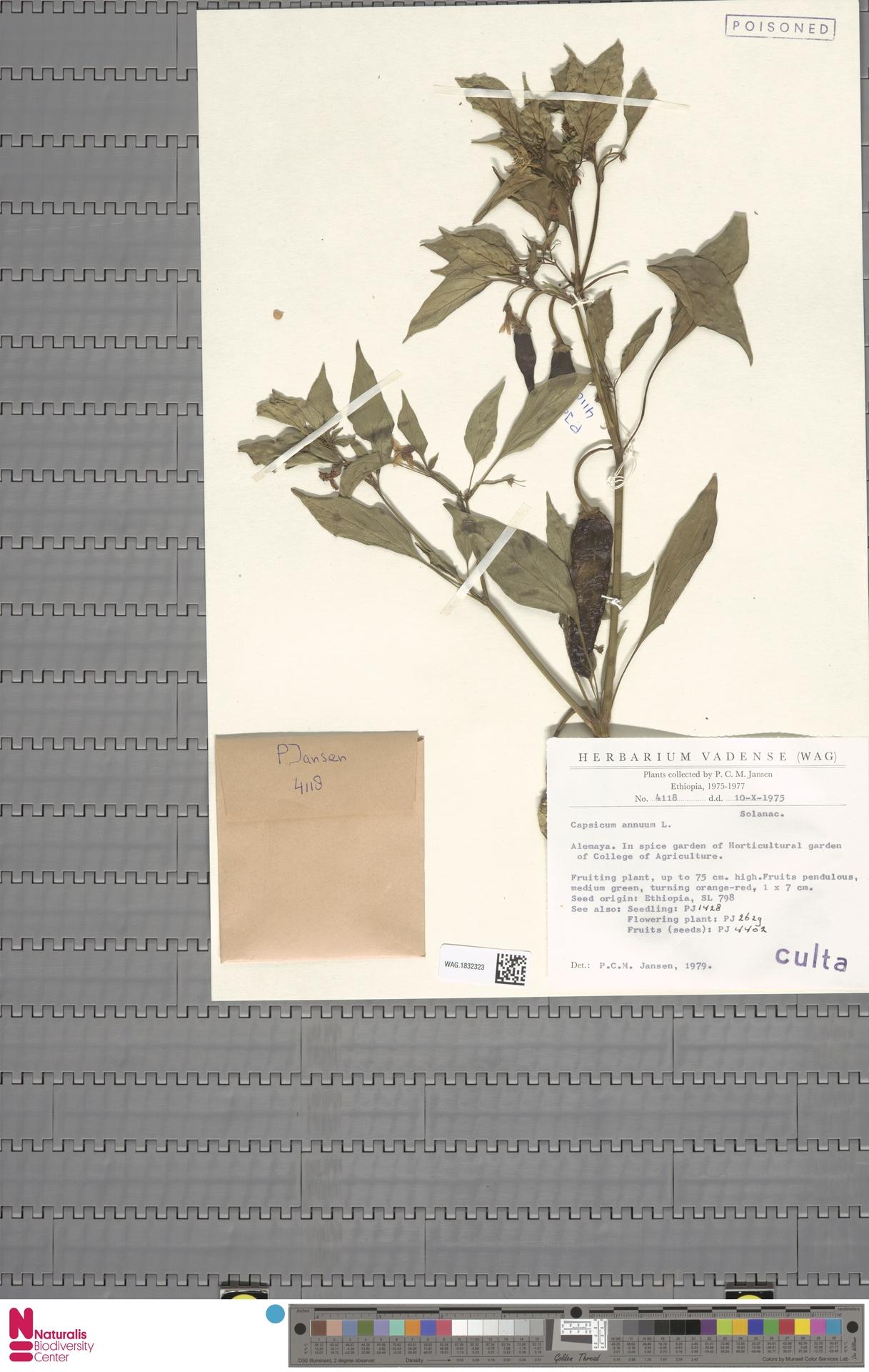 WAG.1832323 | Capsicum annuum L.