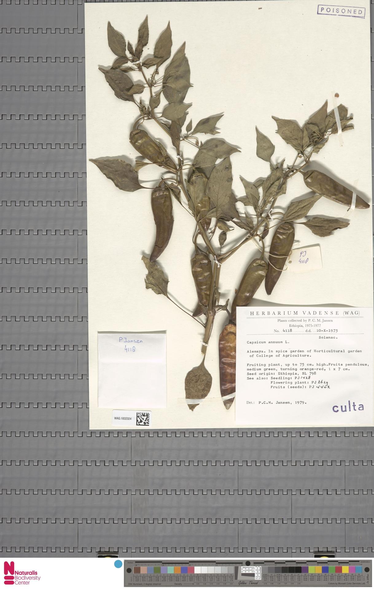 WAG.1832324 | Capsicum annuum L.