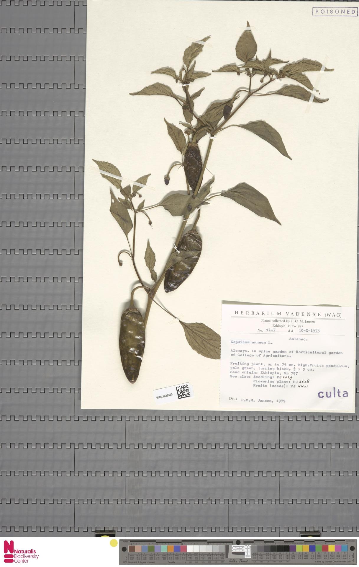 WAG.1832325 | Capsicum annuum L.