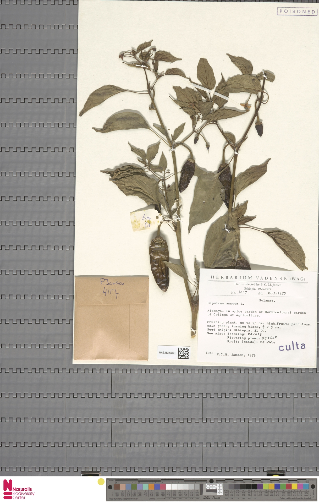 WAG.1832326 | Capsicum annuum L.