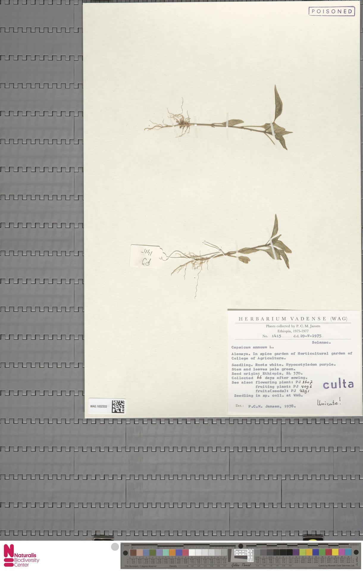 WAG.1832333 | Capsicum annuum L.