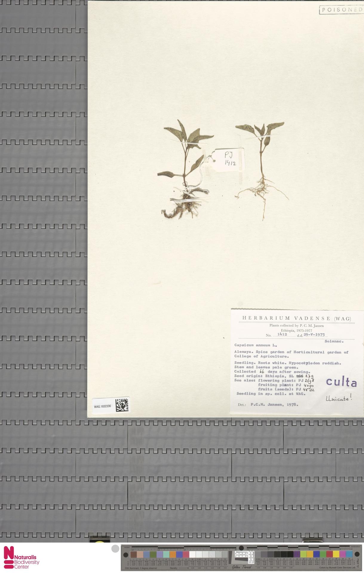 WAG.1832336   Capsicum annuum L.