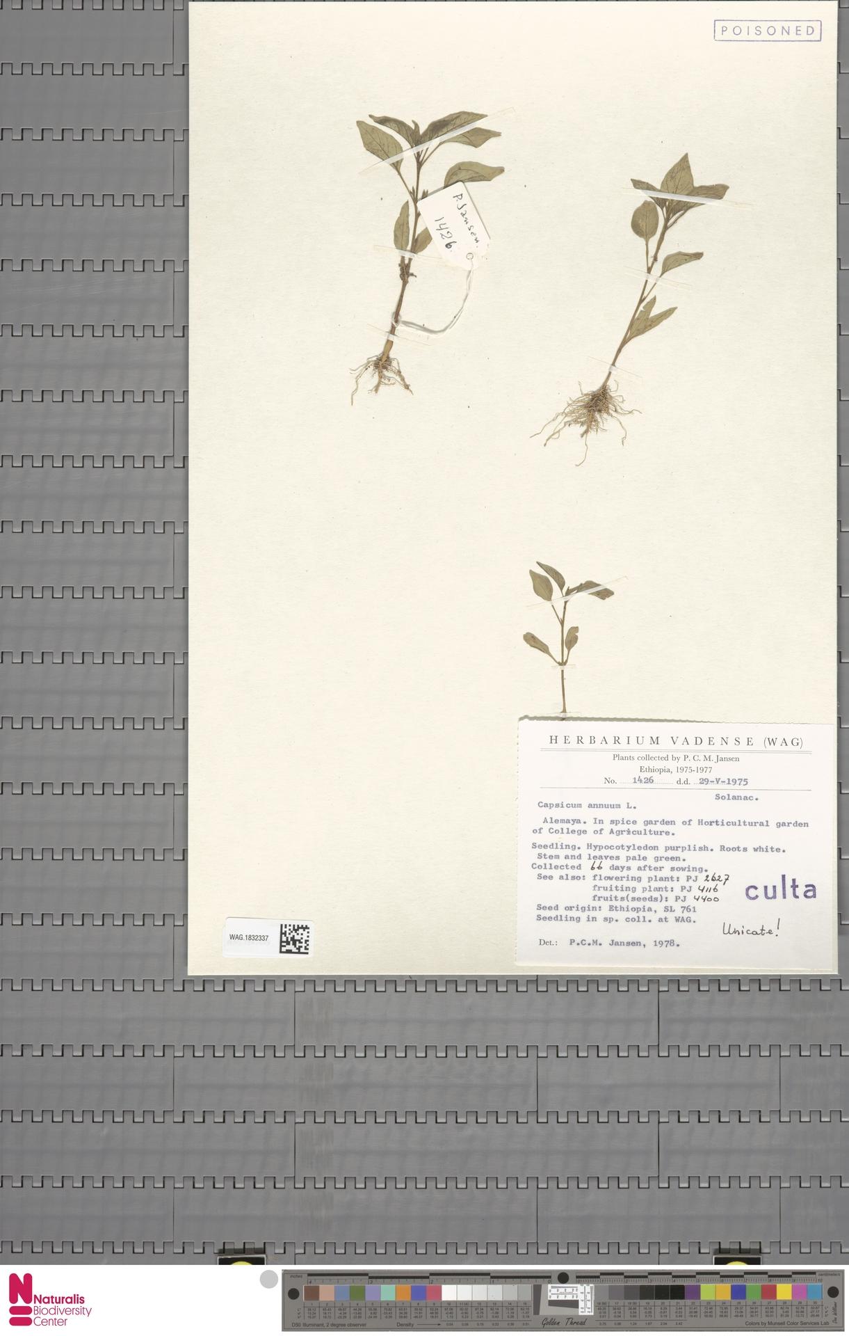 WAG.1832337 | Capsicum annuum L.