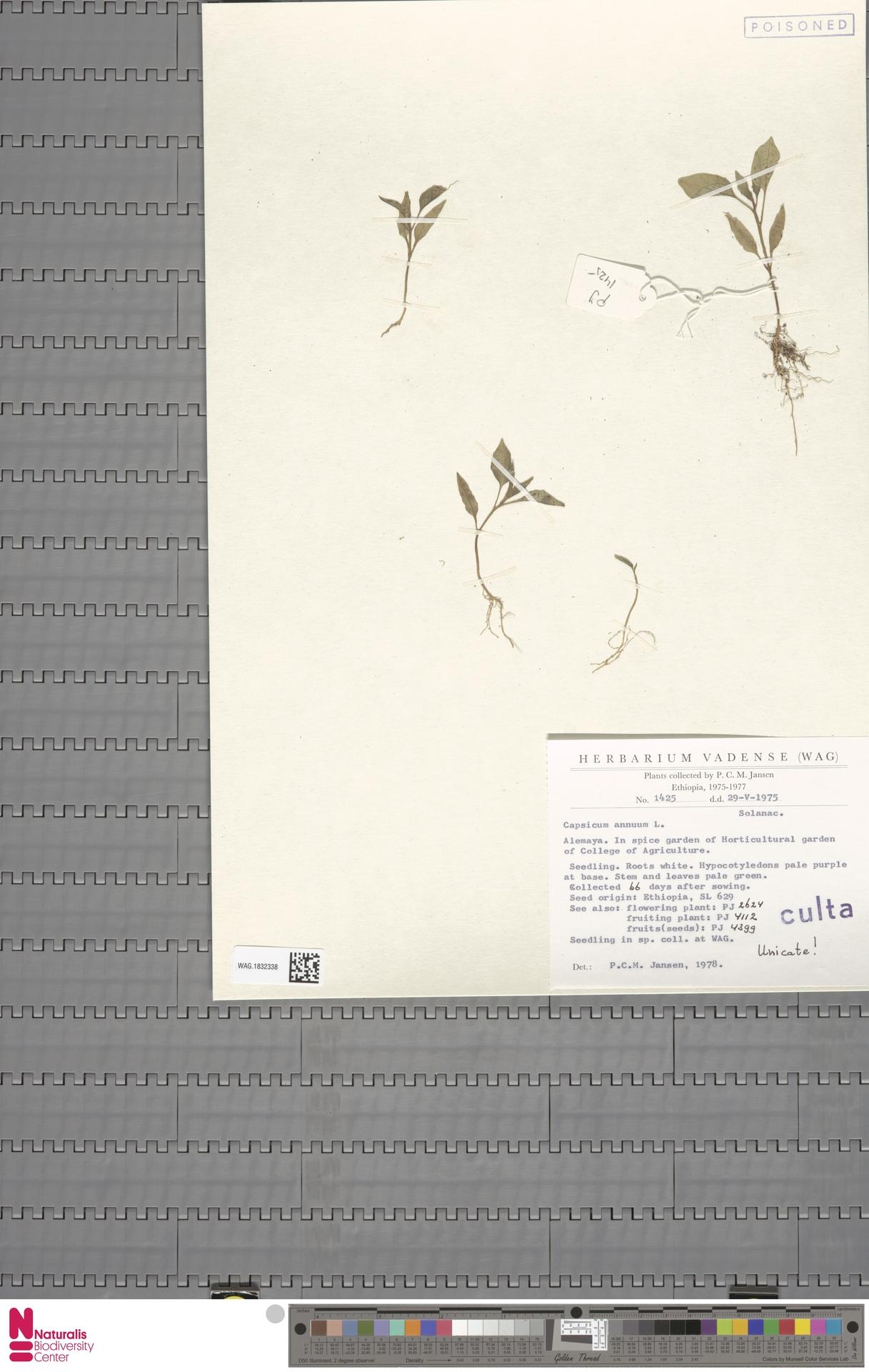 WAG.1832338 | Capsicum annuum L.