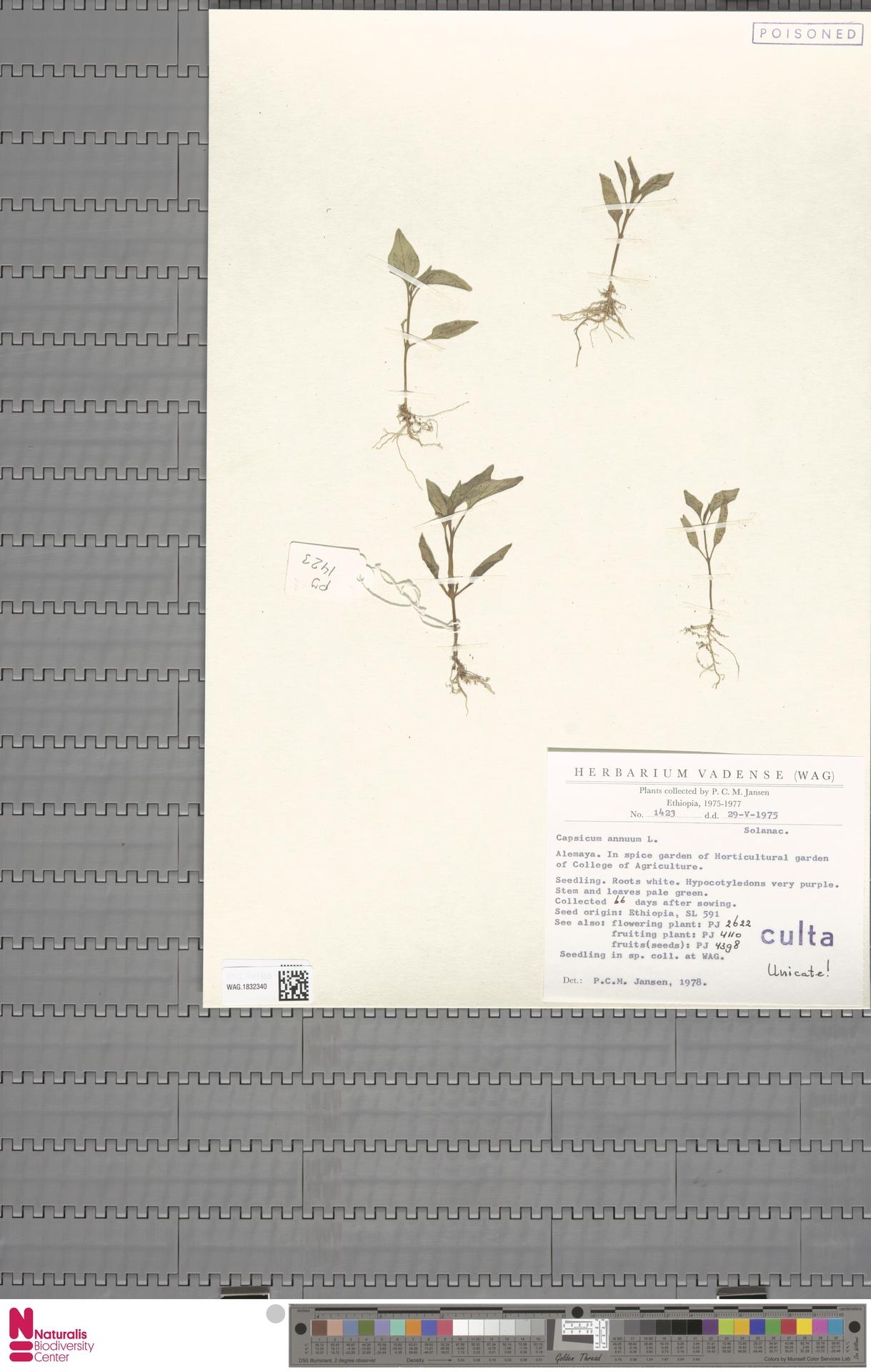 WAG.1832340 | Capsicum annuum L.