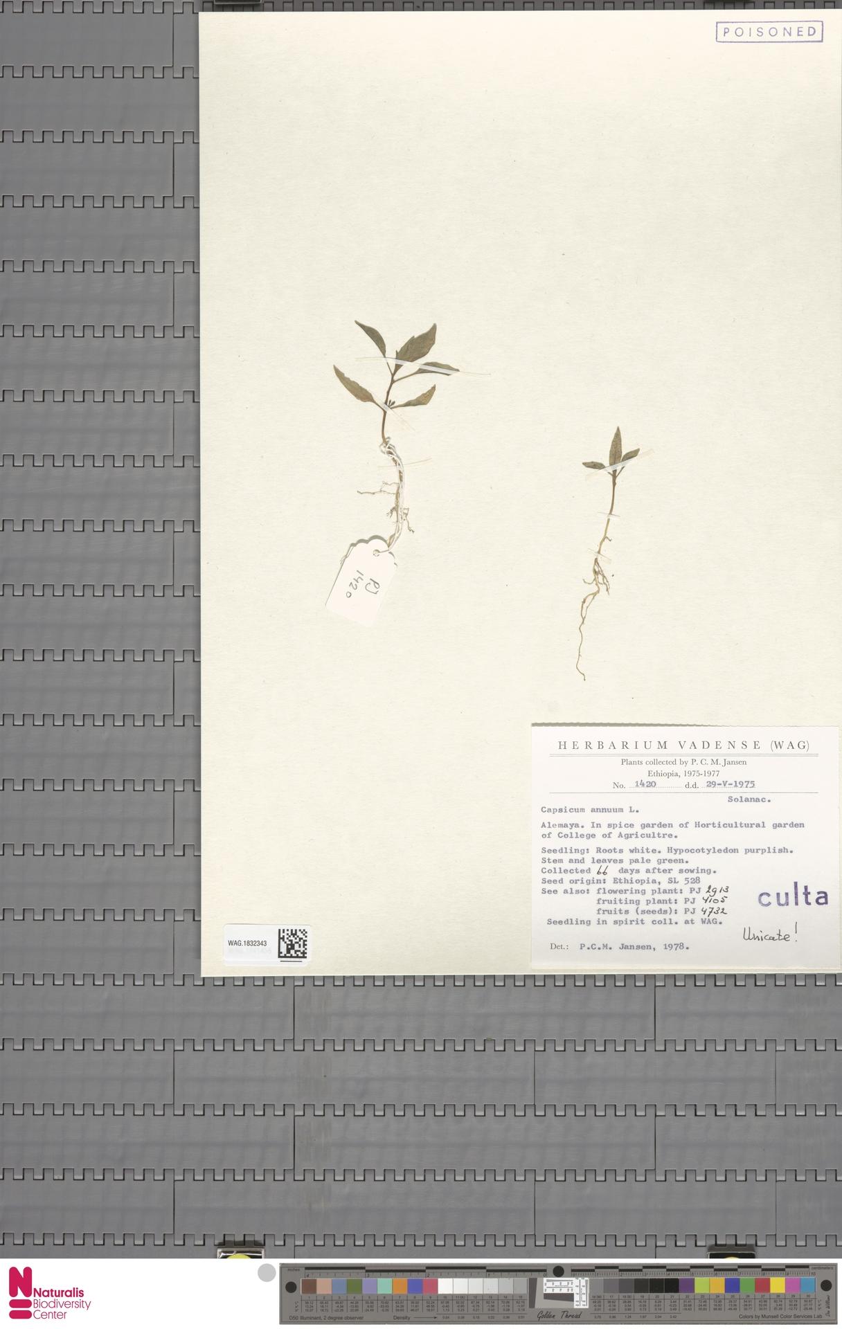 WAG.1832343 | Capsicum annuum L.