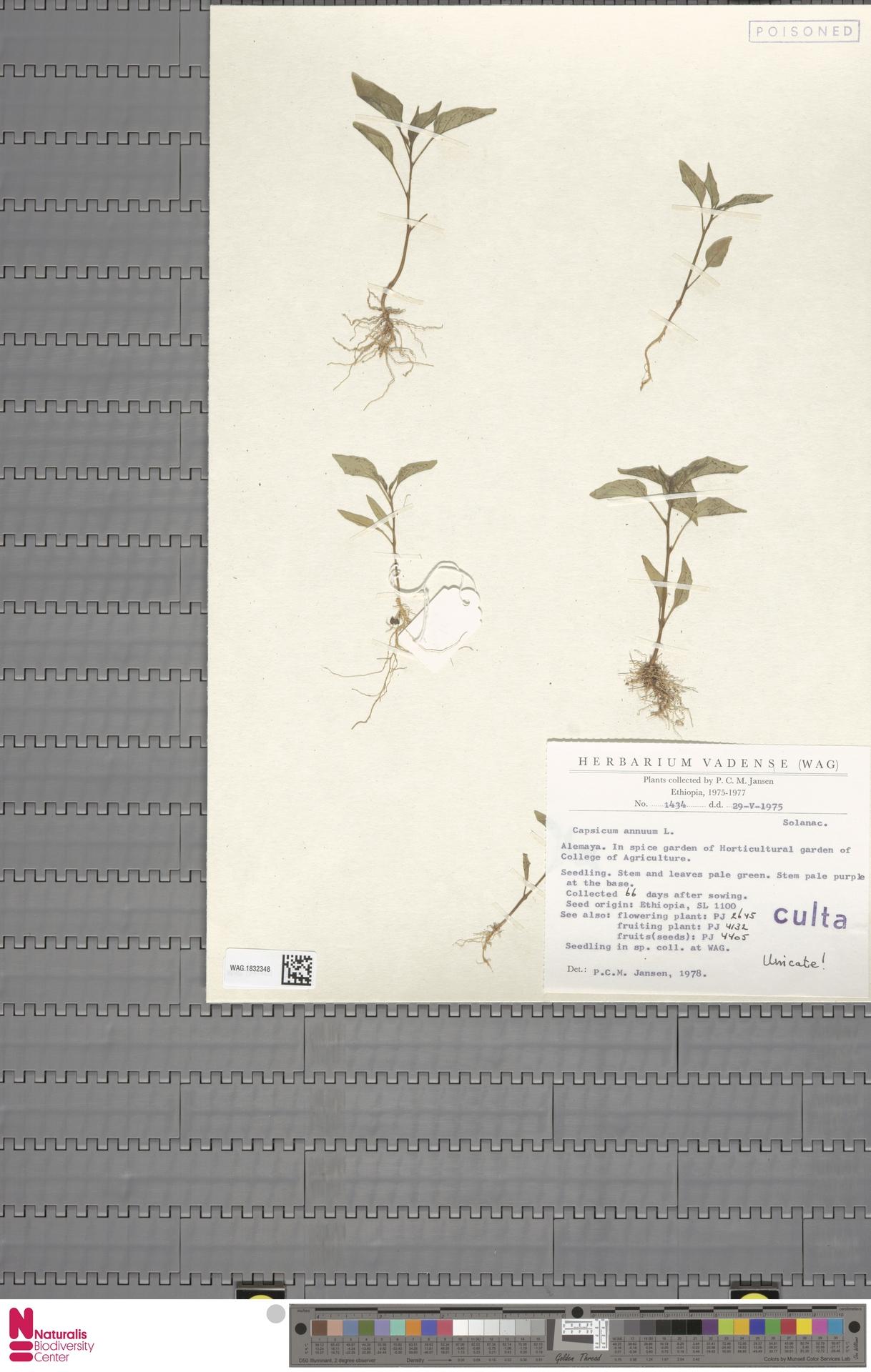 WAG.1832348 | Capsicum annuum L.