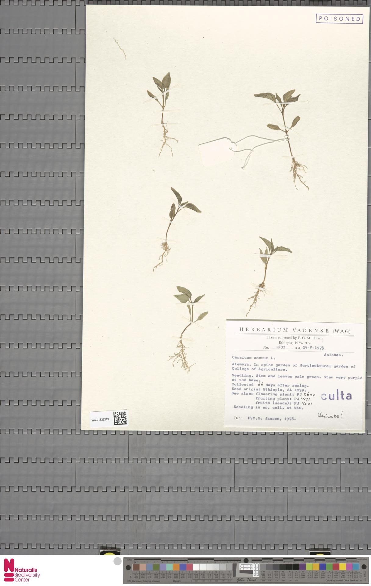 WAG.1832349 | Capsicum annuum L.