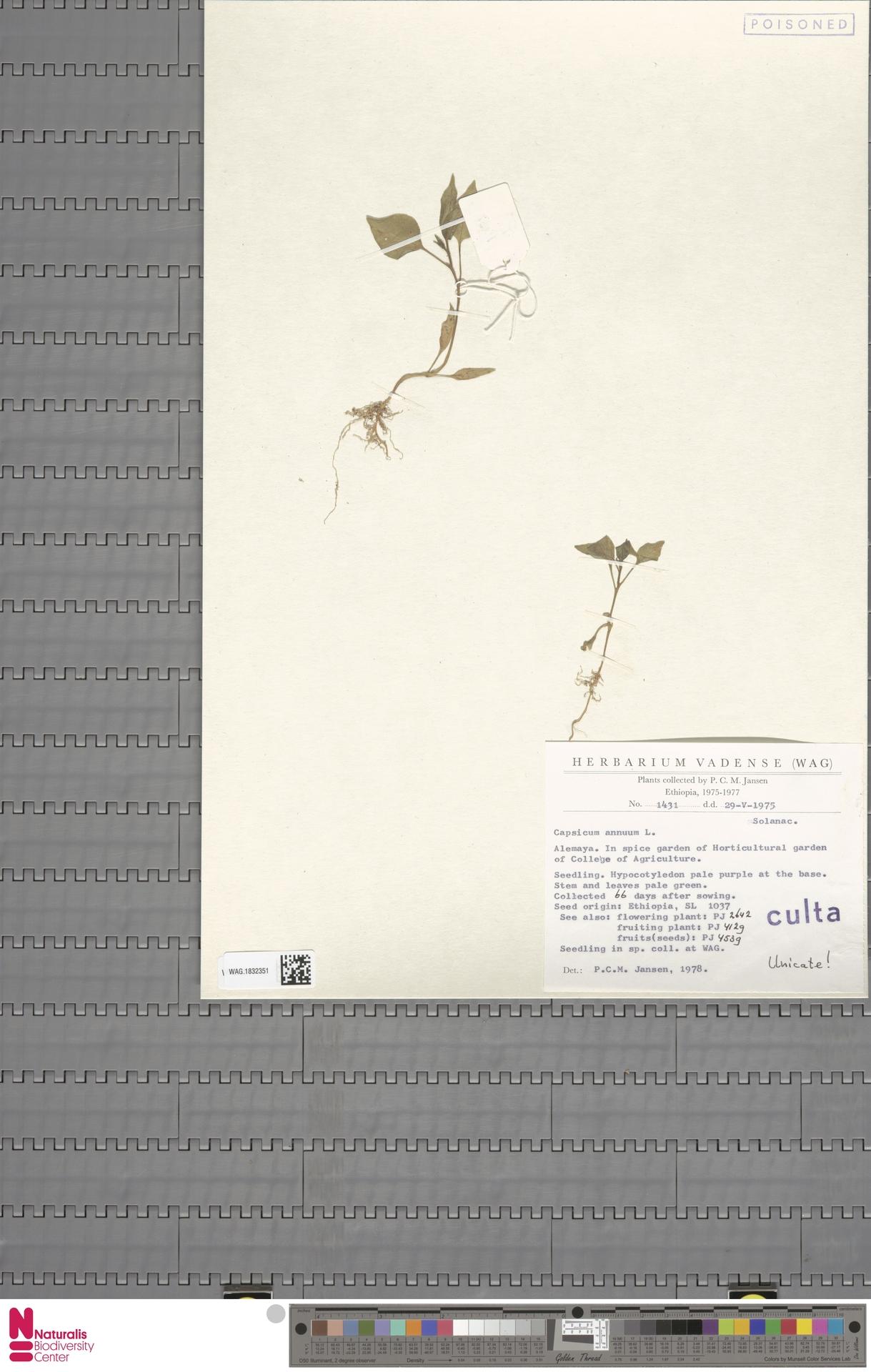 WAG.1832351 | Capsicum annuum L.