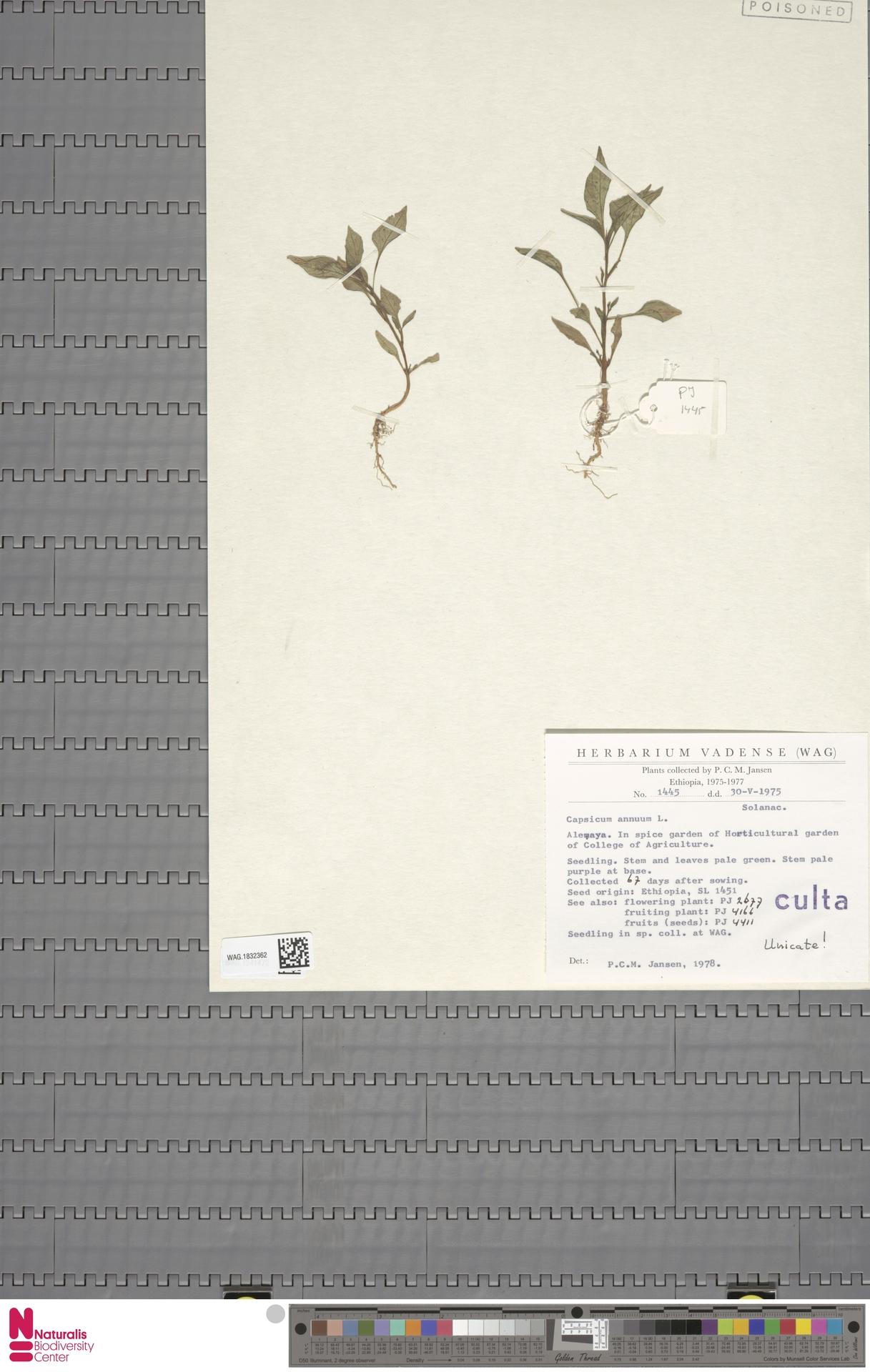 WAG.1832362 | Capsicum annuum L.