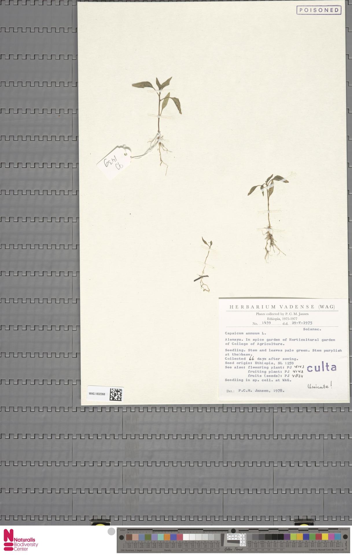 WAG.1832368 | Capsicum annuum L.