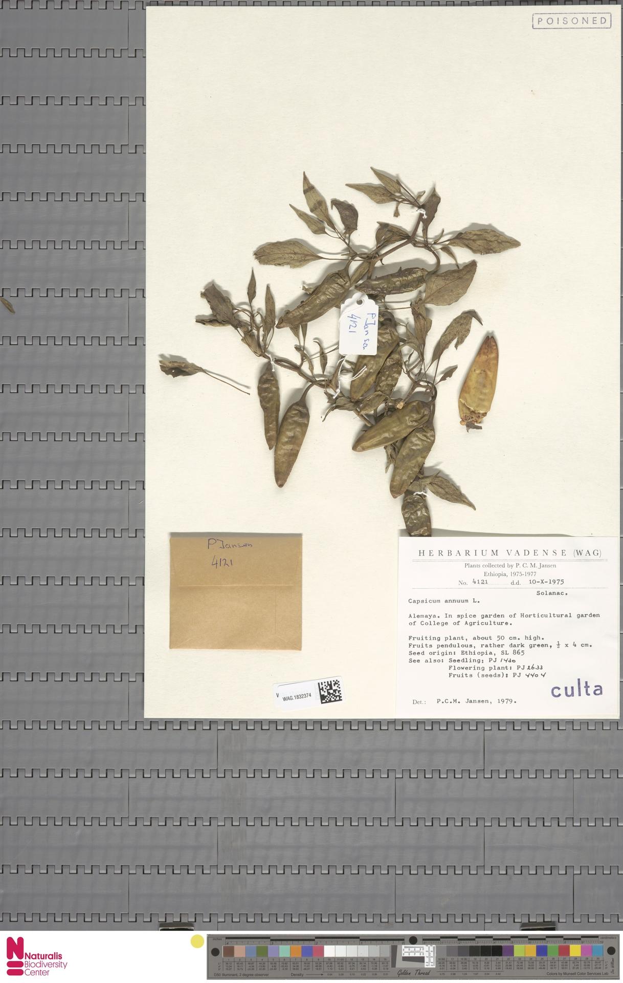 WAG.1832374 | Capsicum annuum L.