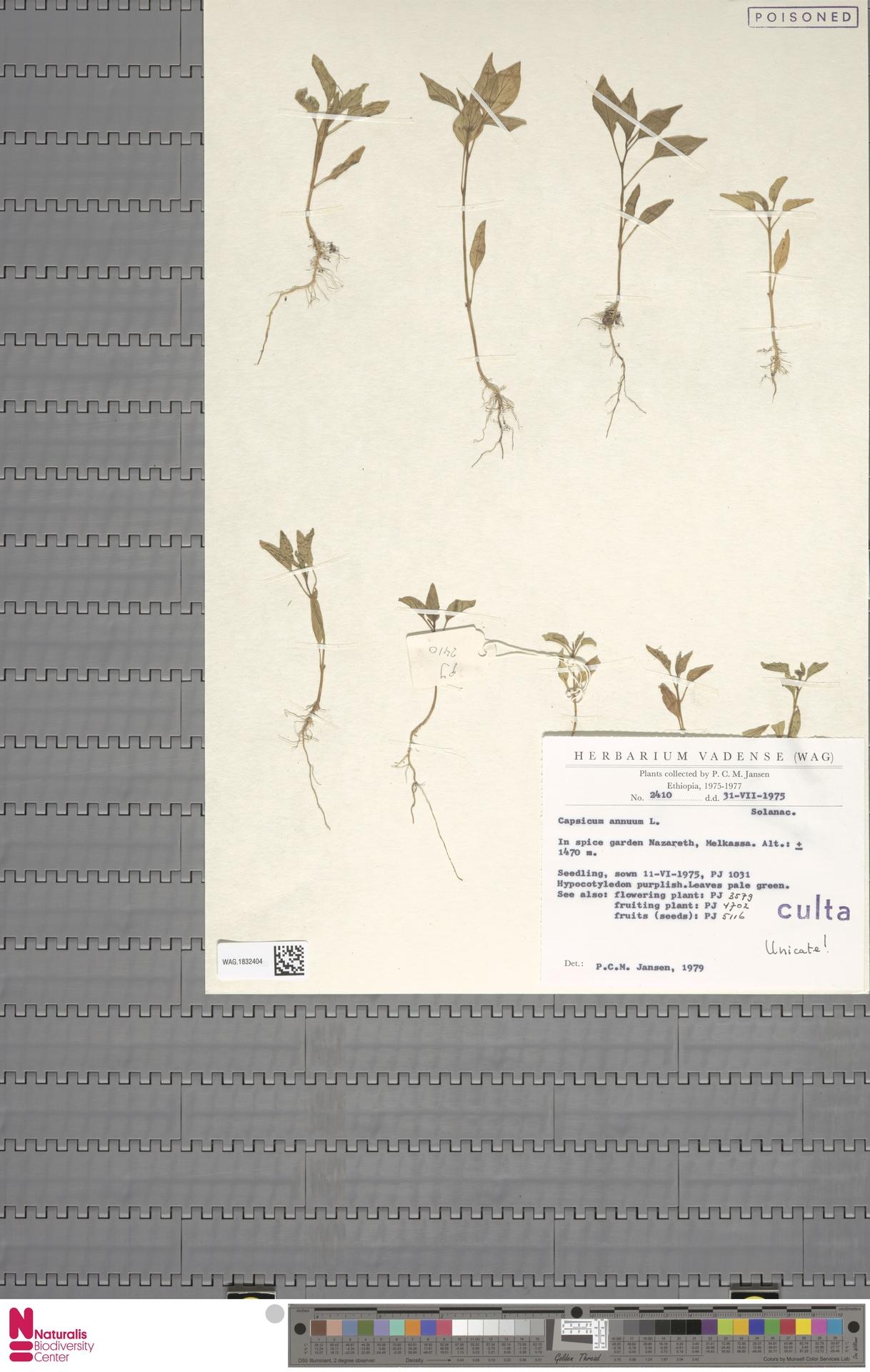 WAG.1832404   Capsicum annuum L.