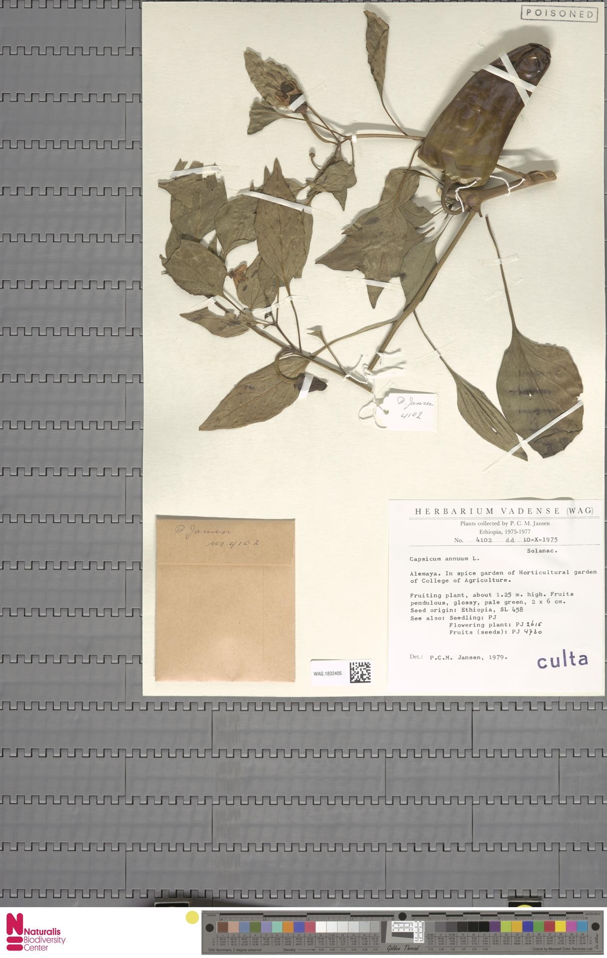 WAG.1832405 | Capsicum annuum L.