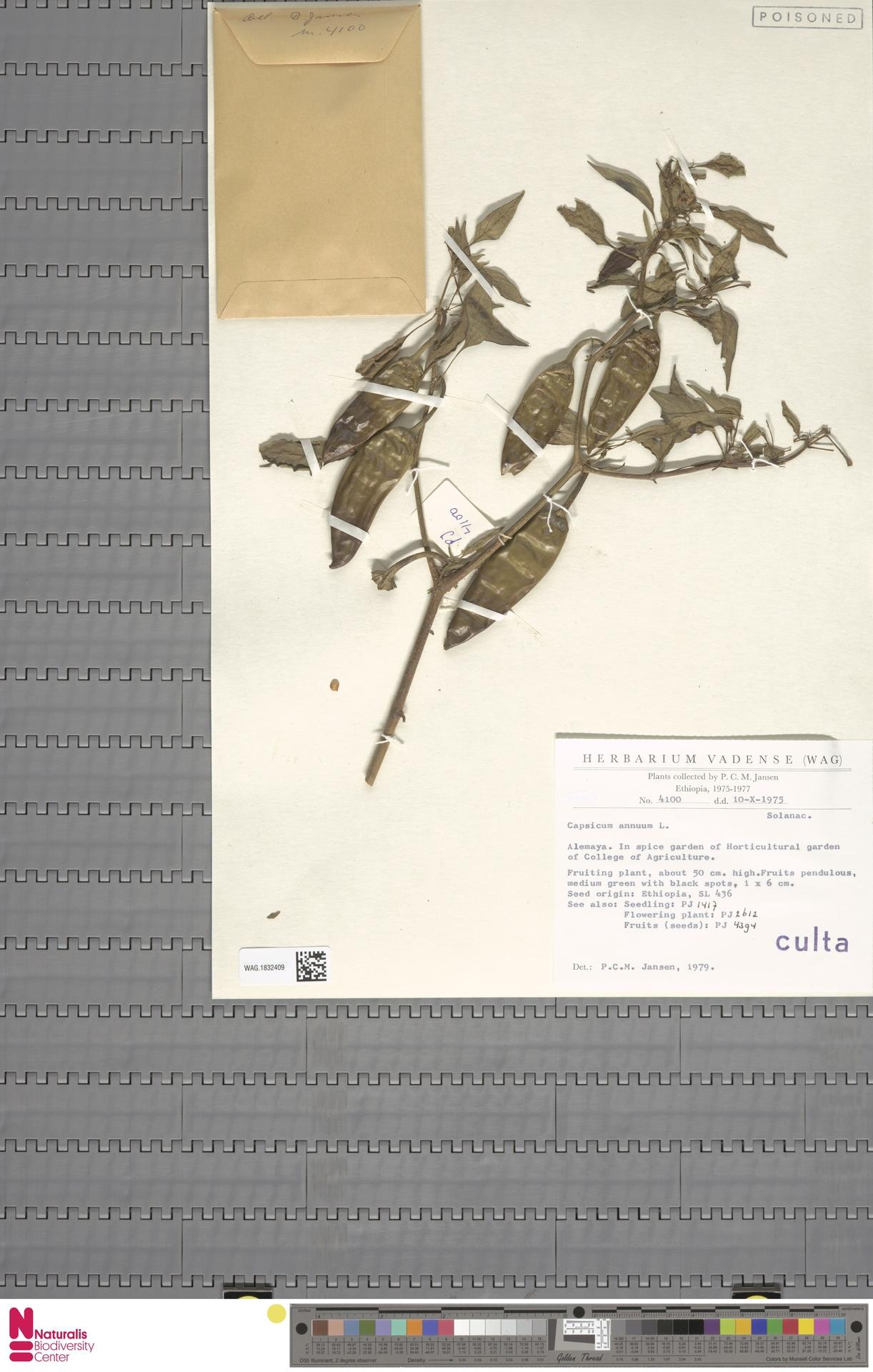 WAG.1832409 | Capsicum annuum L.