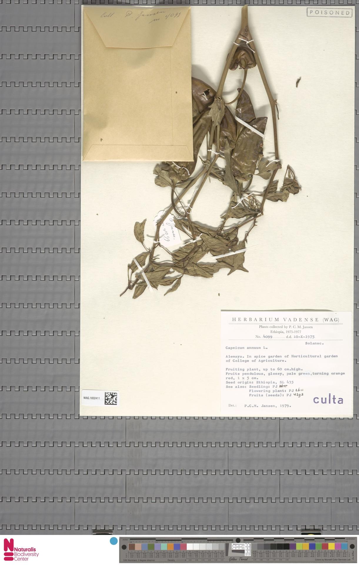 WAG.1832411 | Capsicum annuum L.
