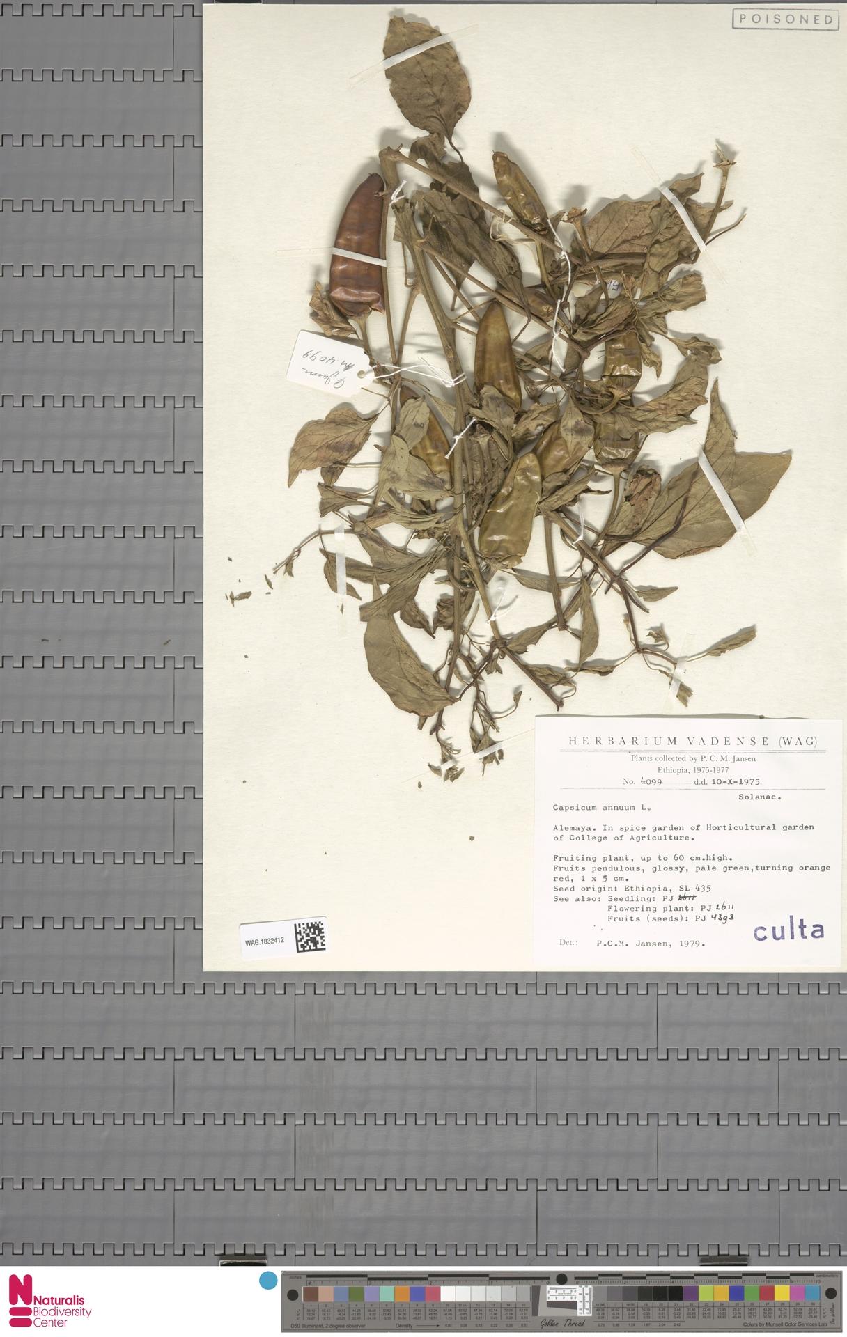 WAG.1832412   Capsicum annuum L.