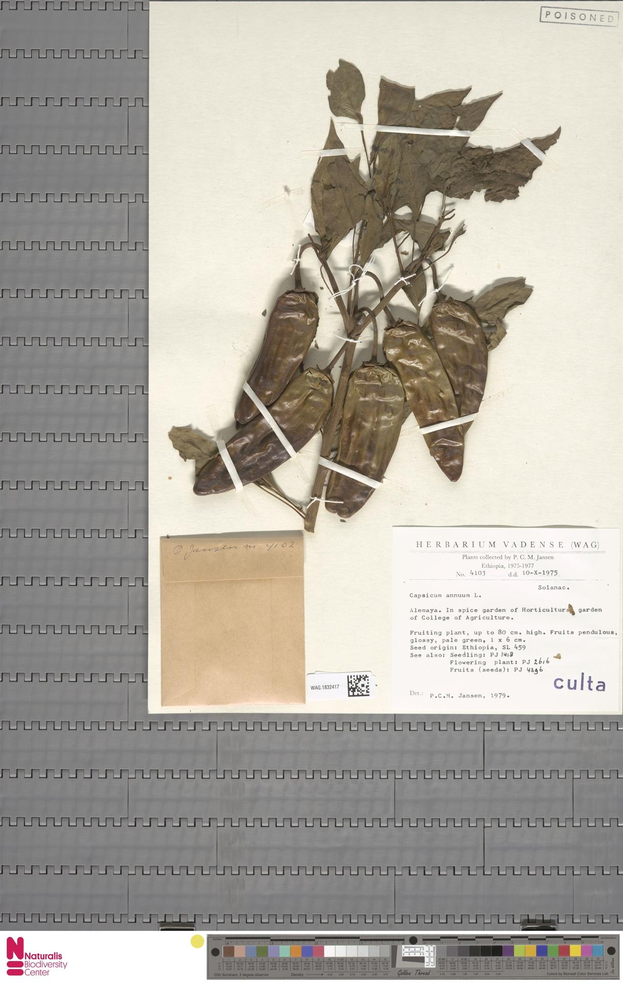 WAG.1832417 | Capsicum annuum L.