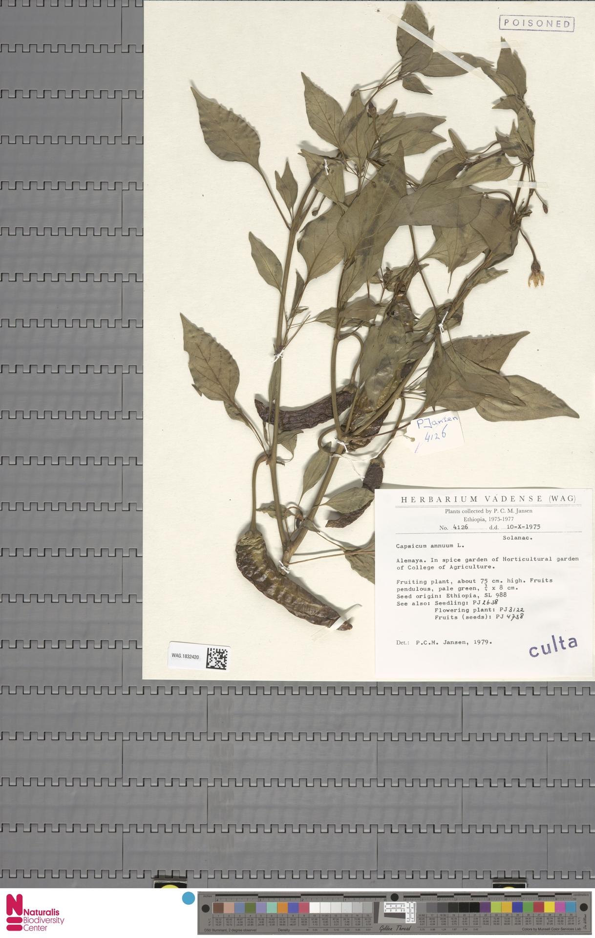 WAG.1832420   Capsicum annuum L.