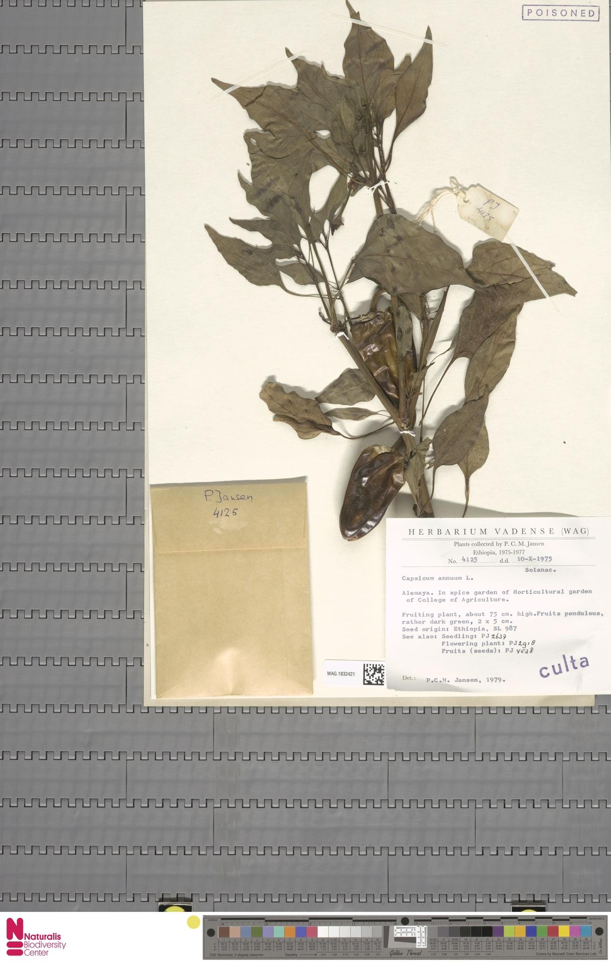 WAG.1832421   Capsicum annuum L.