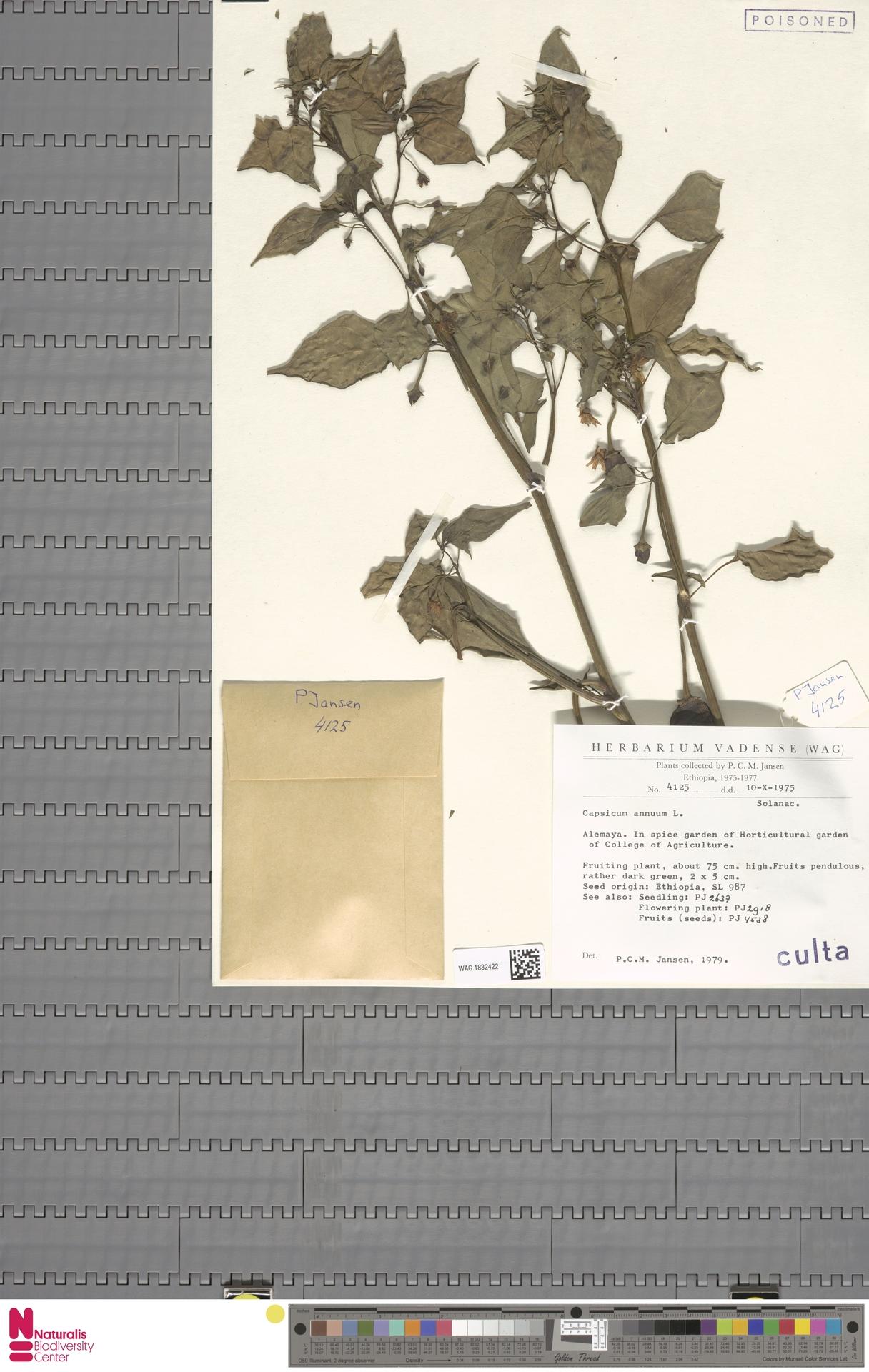 WAG.1832422 | Capsicum annuum L.