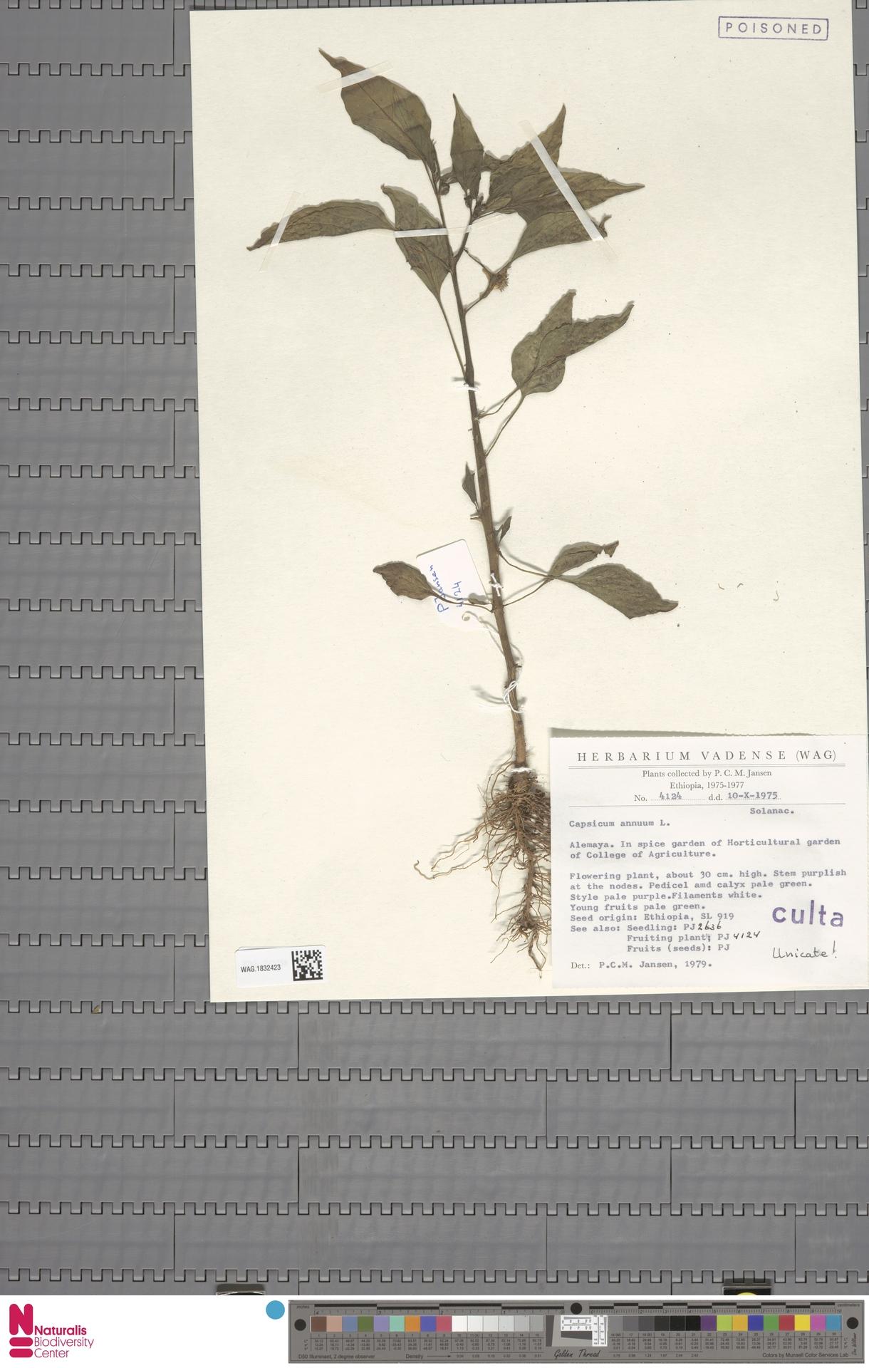 WAG.1832423 | Capsicum annuum L.