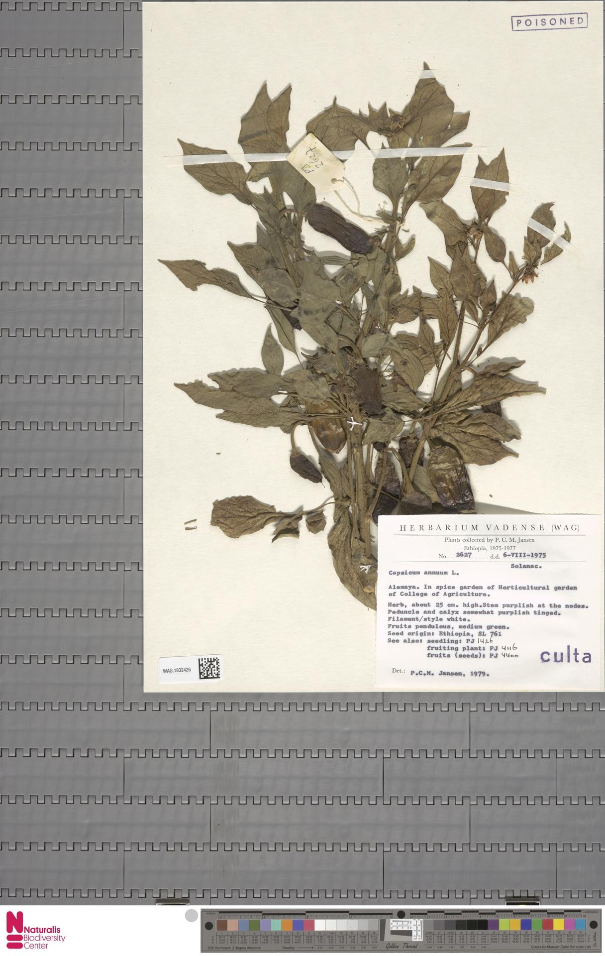 WAG.1832426 | Capsicum annuum L.